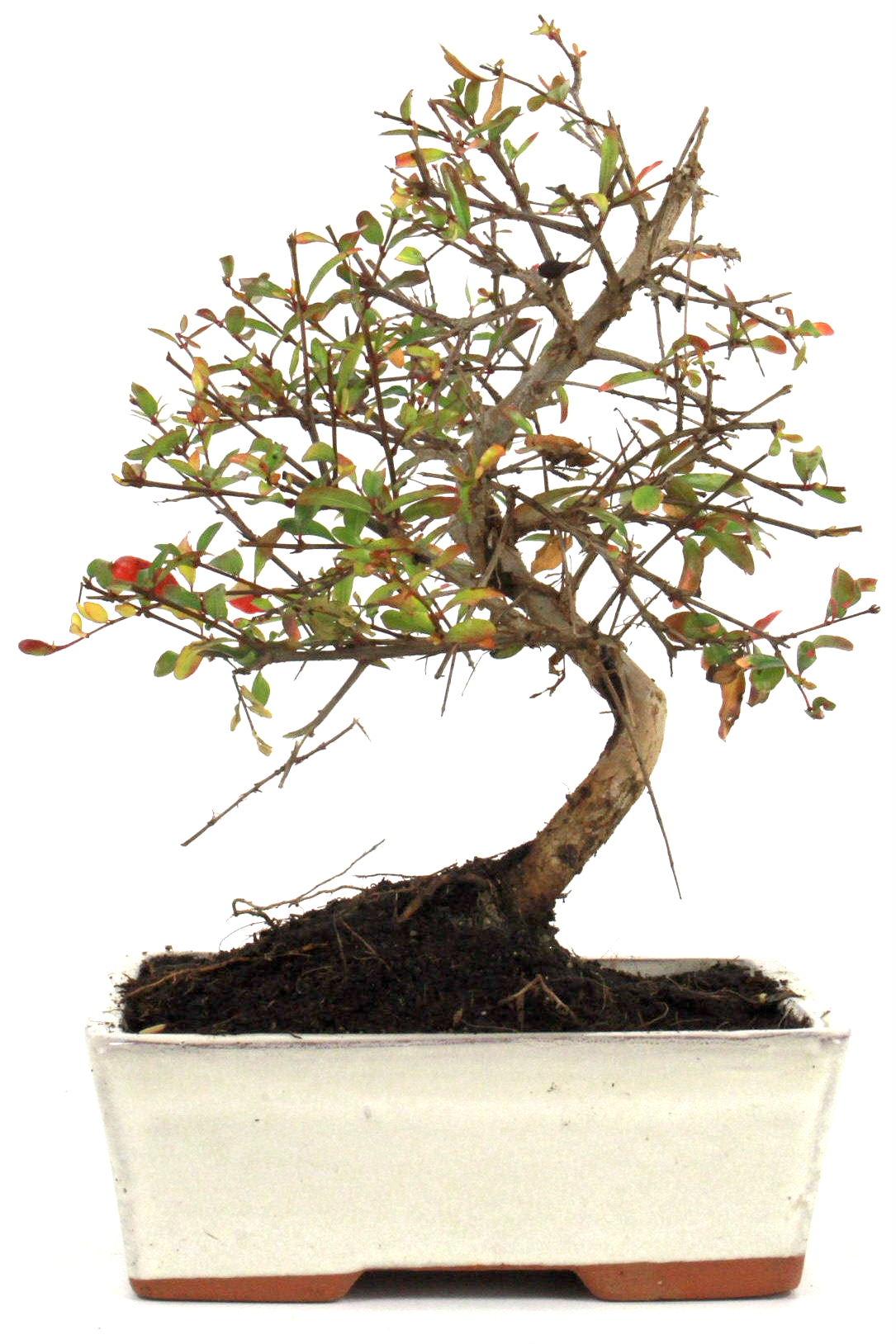Granatapfel bonsai 25 30 cm 1618 bei oyaki bonsai kaufen for Bonsai onlineshop