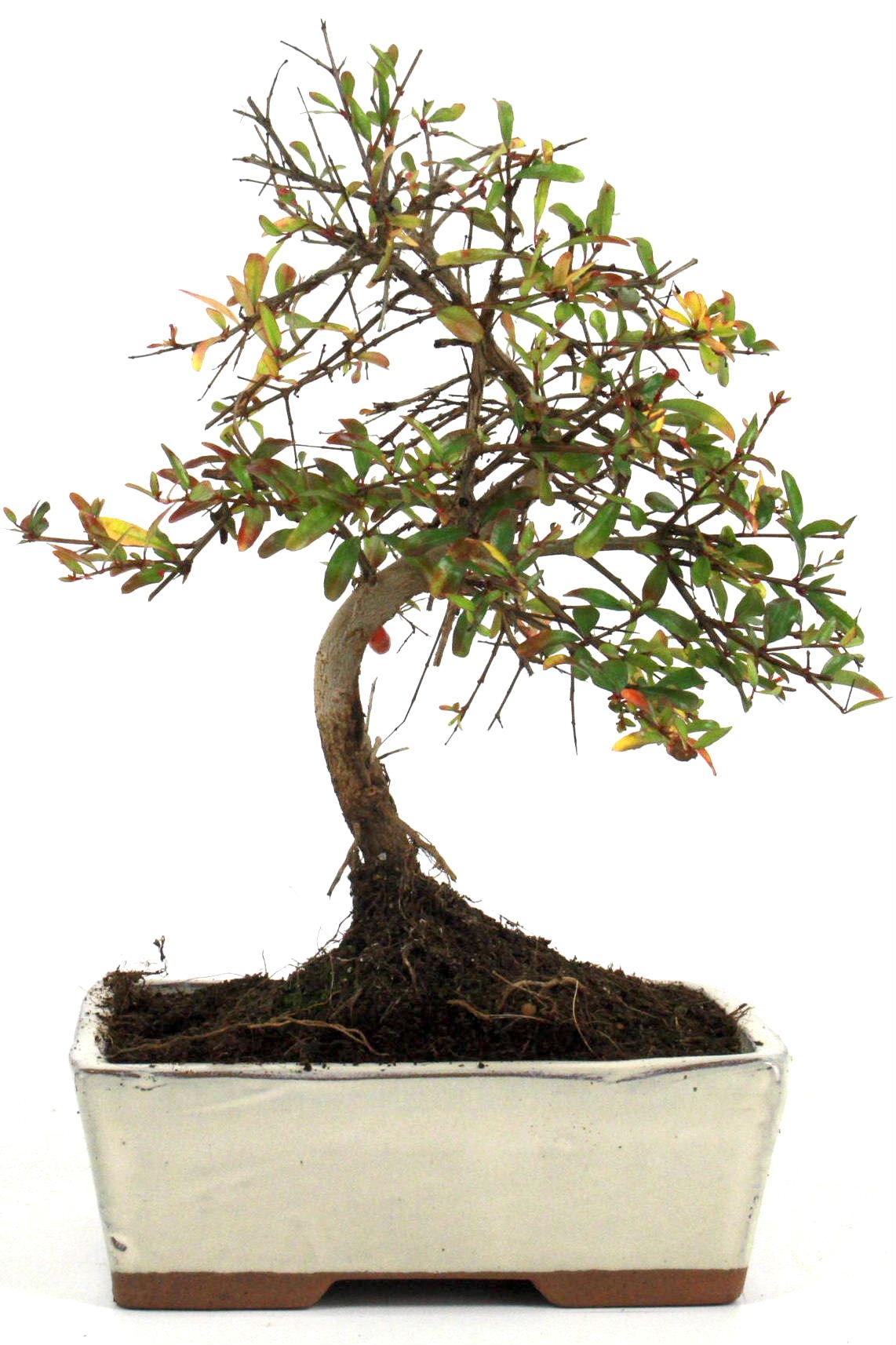 granatapfel bonsai 25 30 cm 1620 bei oyaki bonsai kaufen. Black Bedroom Furniture Sets. Home Design Ideas