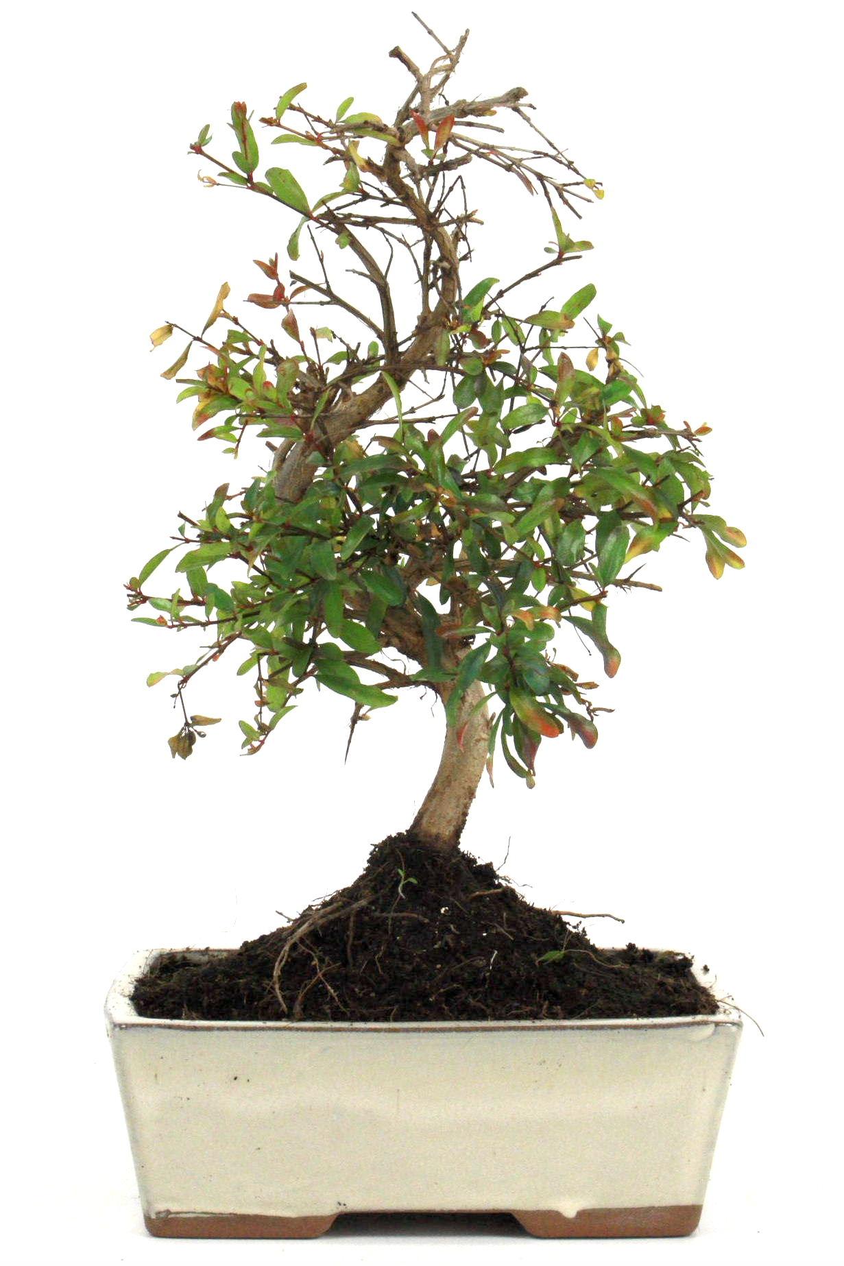 granatapfel bonsai 25 30 cm 1621 bei oyaki bonsai kaufen. Black Bedroom Furniture Sets. Home Design Ideas