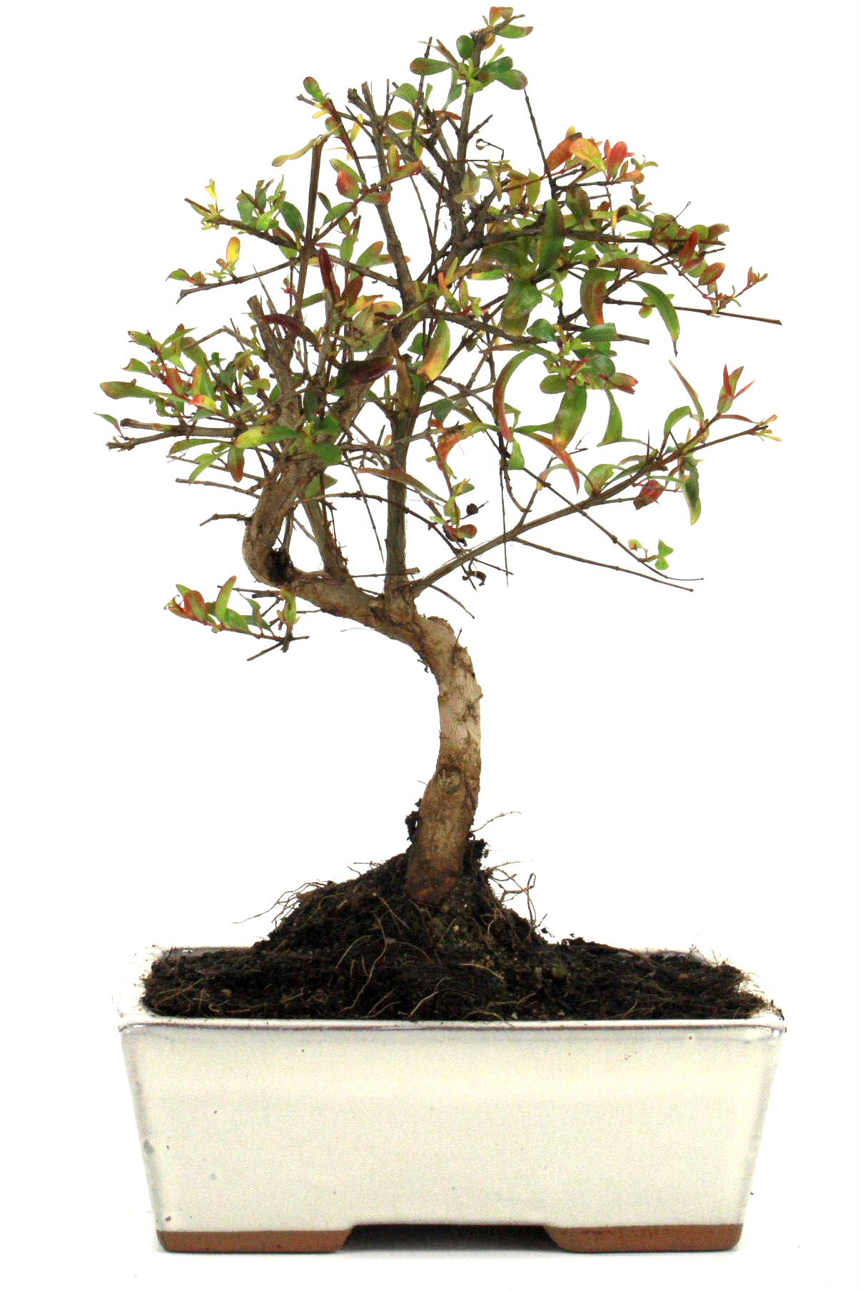 Granatapfel bonsai 25 30 cm 1622 bei oyaki bonsai kaufen for Bonsai onlineshop