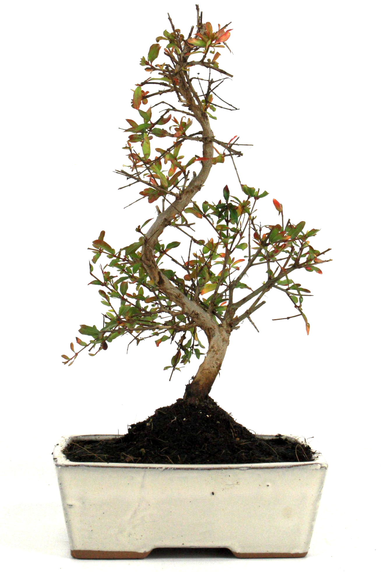 Granatapfel bonsai 25 30 cm 1623 bei oyaki bonsai kaufen for Bonsai onlineshop