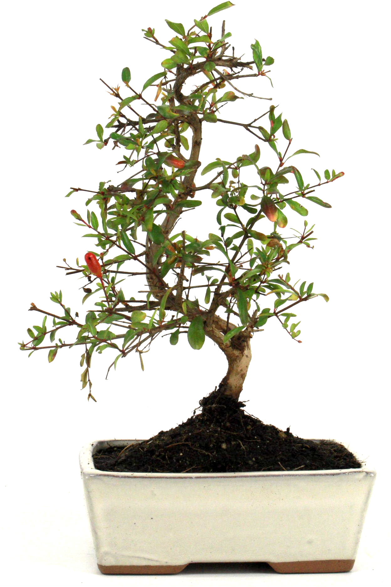 Granatapfel bonsai 25 30 cm 1624 bei oyaki bonsai kaufen for Bonsai onlineshop