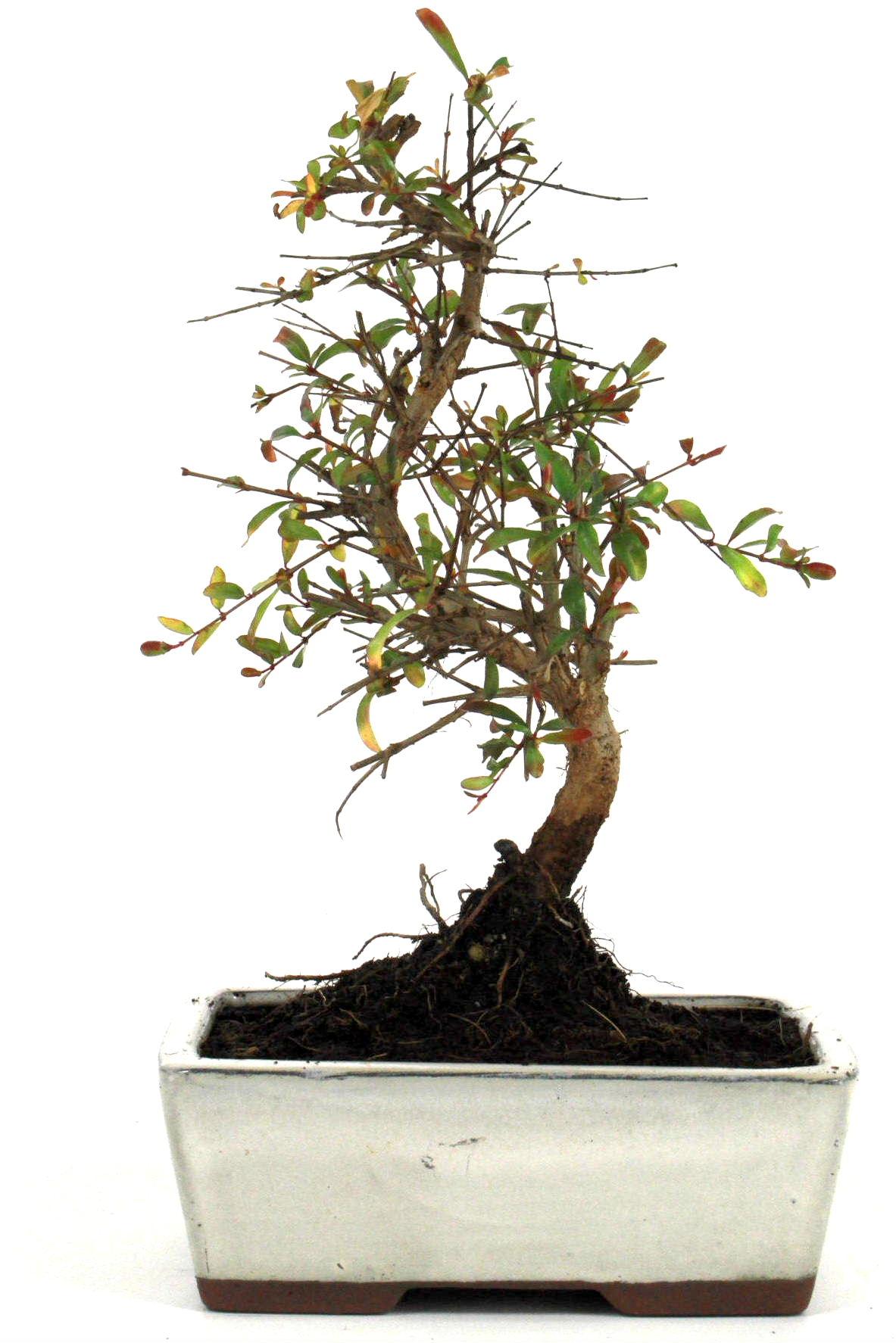 granatapfel bonsai 25 30 cm 1625 bei oyaki bonsai kaufen. Black Bedroom Furniture Sets. Home Design Ideas