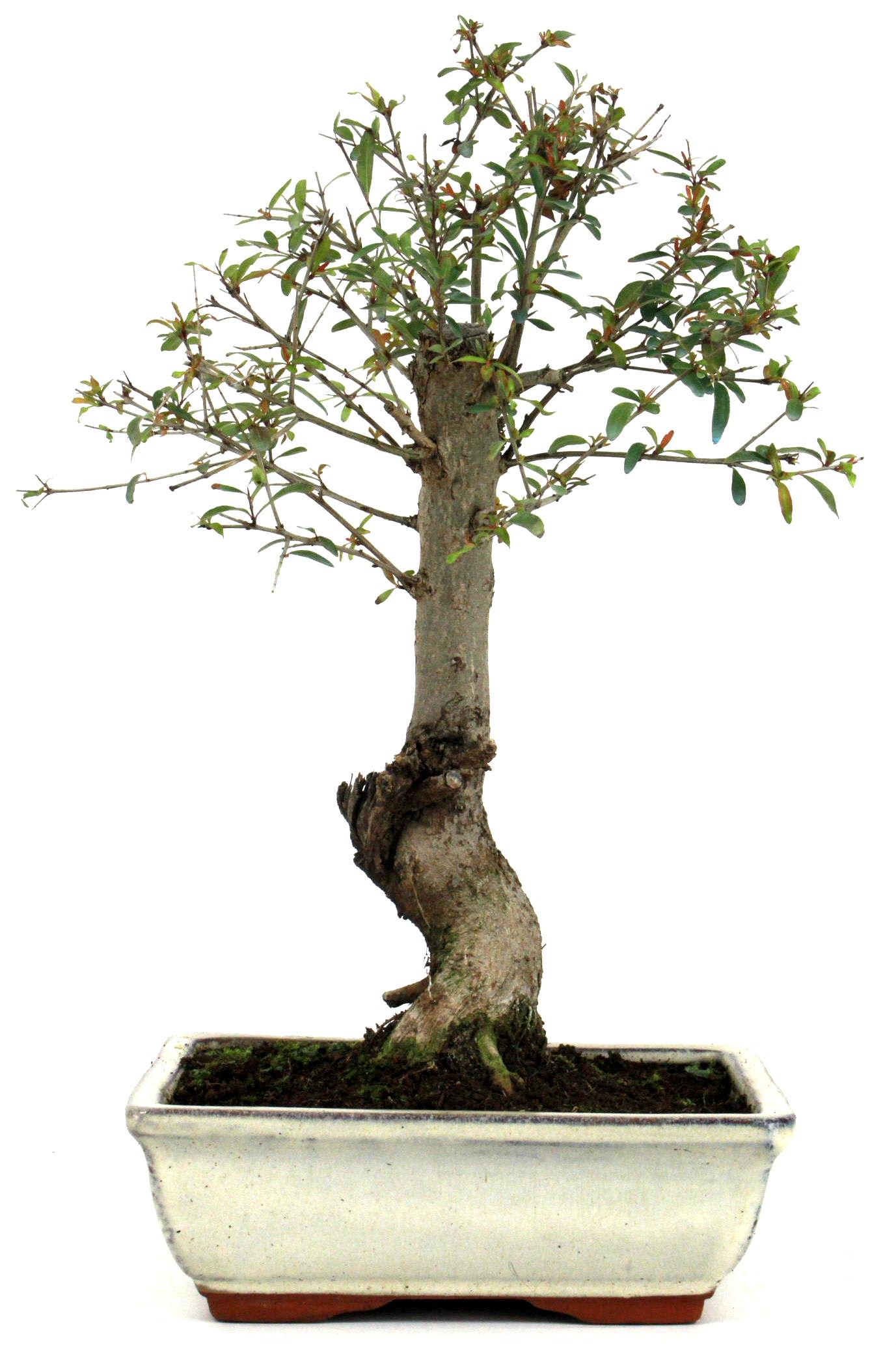 bonsai granatapfel 35 40 cm 191 bei oyaki bonsai kaufen. Black Bedroom Furniture Sets. Home Design Ideas
