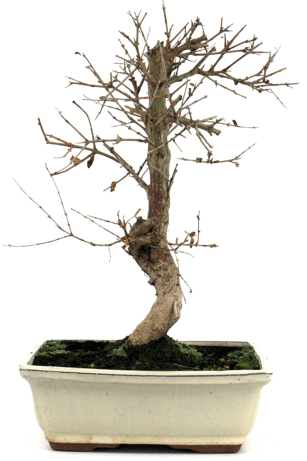 Bonsai granatapfel 35 40 cm 195 bei oyaki bonsai kaufen for Bonsai onlineshop