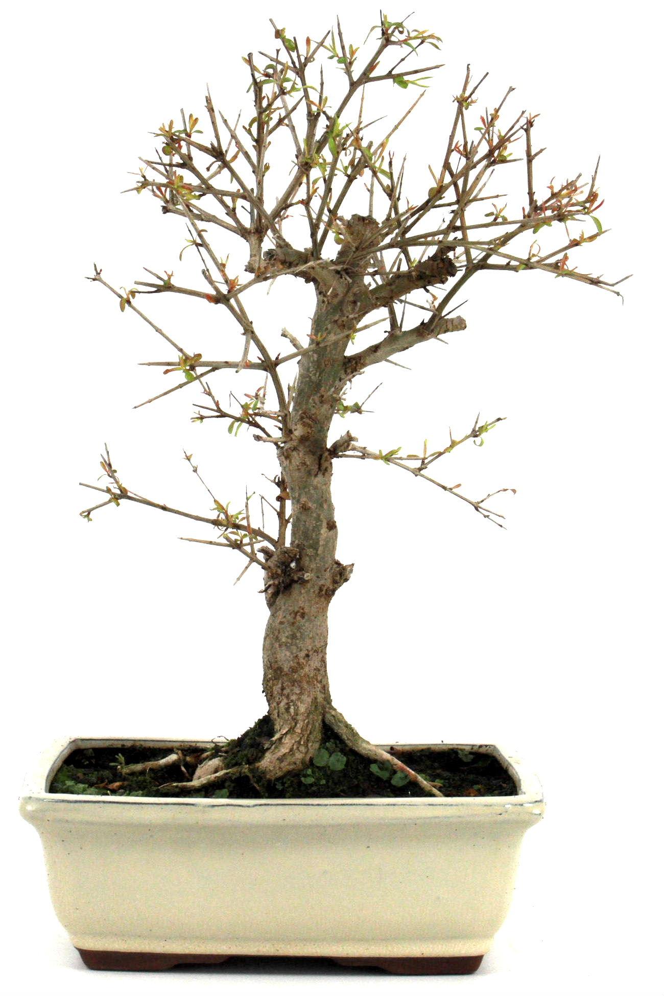 bonsai granatapfel 35 40 cm 197 bei oyaki bonsai kaufen. Black Bedroom Furniture Sets. Home Design Ideas
