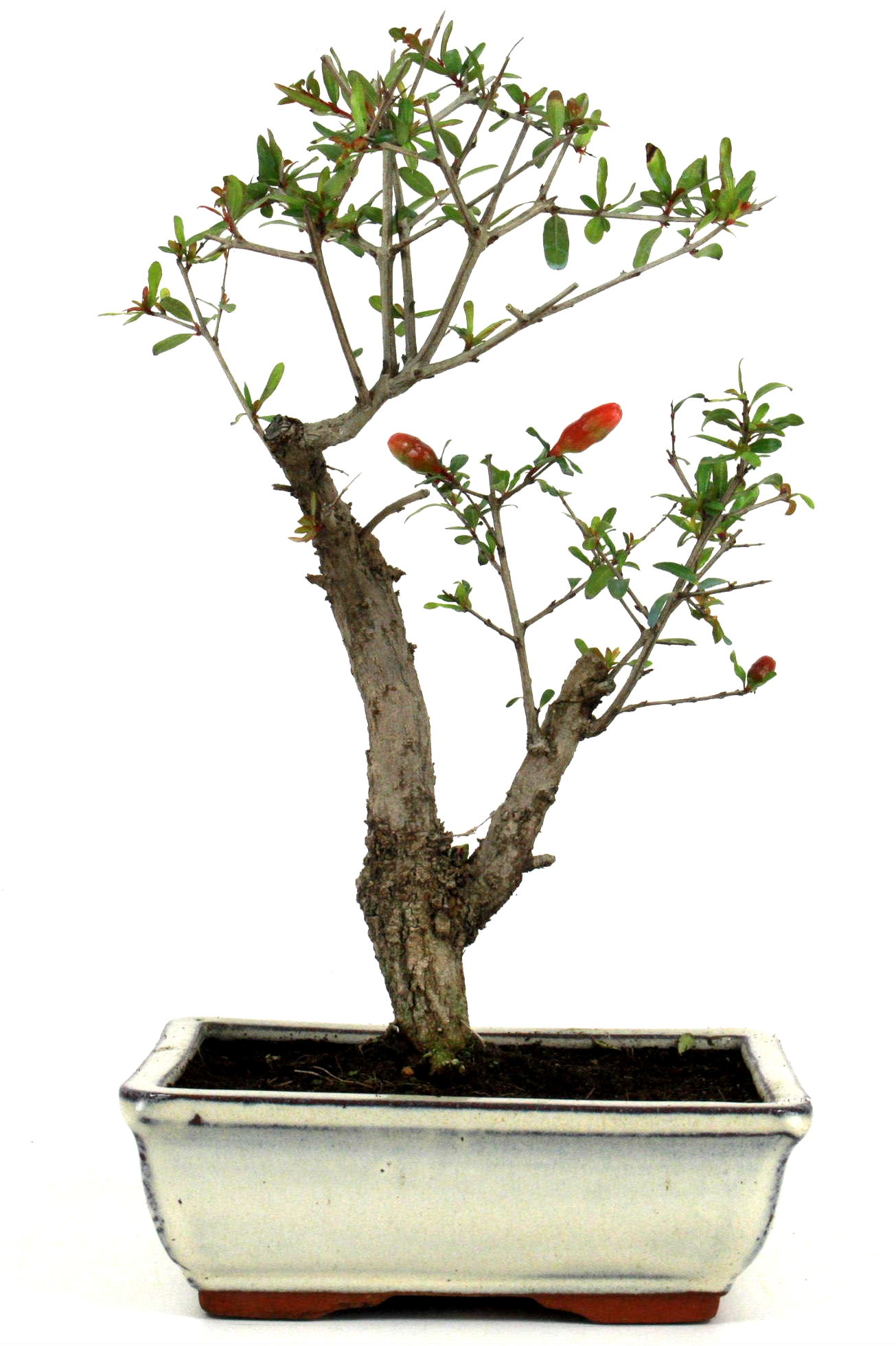 Bonsai granatapfel 35 40 cm 198 bei oyaki bonsai kaufen for Bonsai onlineshop