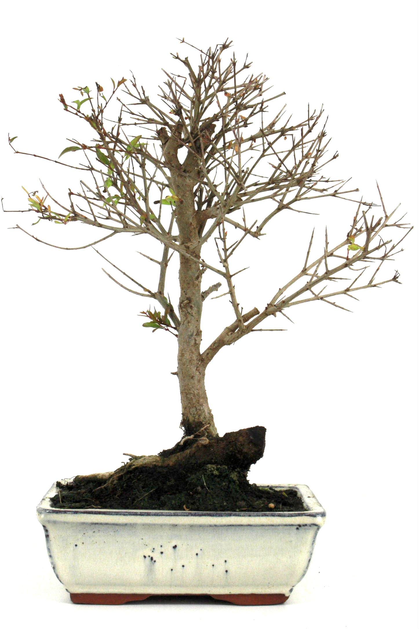 bonsai granatapfel 35 40 cm 1910 bei oyaki bonsai kaufen. Black Bedroom Furniture Sets. Home Design Ideas