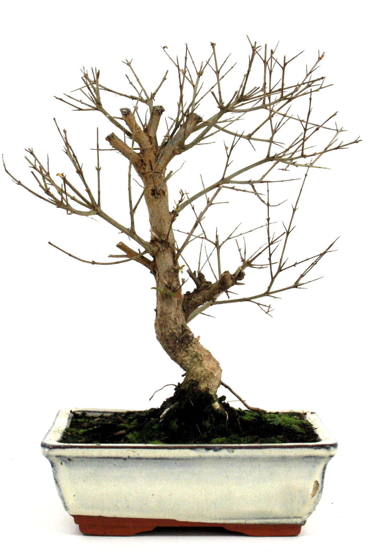 Bonsai granatapfel 35 40 cm 1911 bei oyaki bonsai kaufen for Bonsai onlineshop