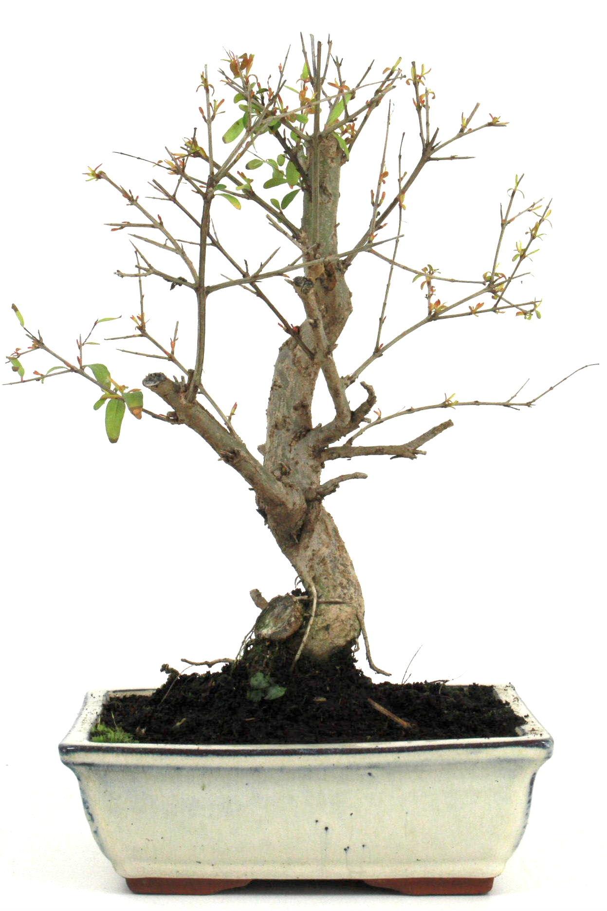 bonsai granatapfel 35 40 cm 1913 bei oyaki bonsai kaufen. Black Bedroom Furniture Sets. Home Design Ideas
