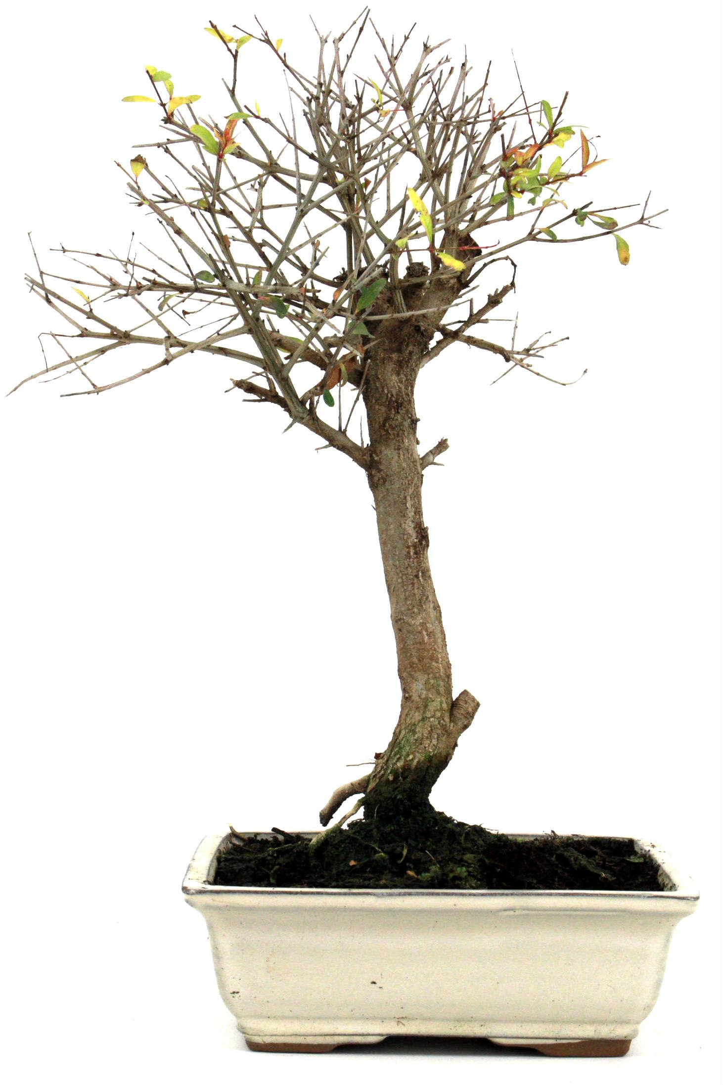 bonsai granatapfel 35 40 cm 1915 bei oyaki bonsai kaufen. Black Bedroom Furniture Sets. Home Design Ideas