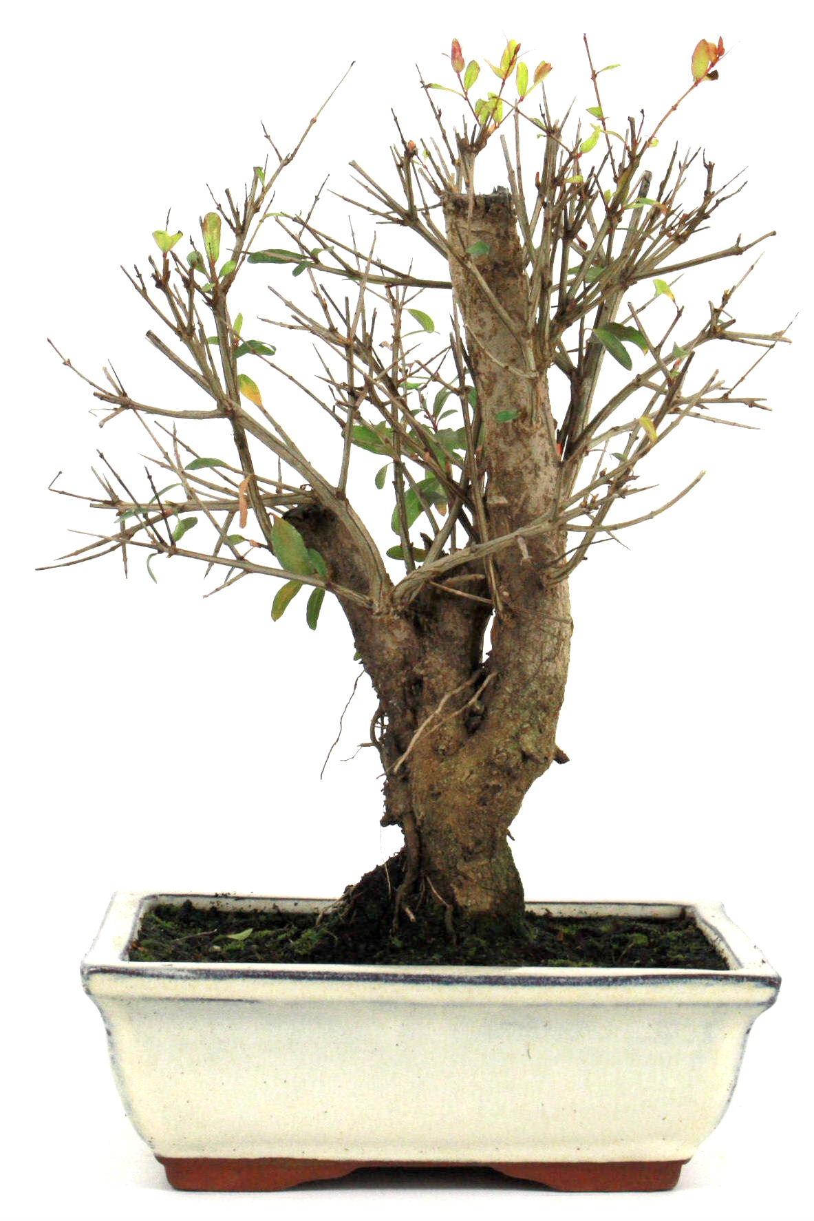 bonsai granatapfel 35 40 cm 1916 bei oyaki bonsai kaufen. Black Bedroom Furniture Sets. Home Design Ideas