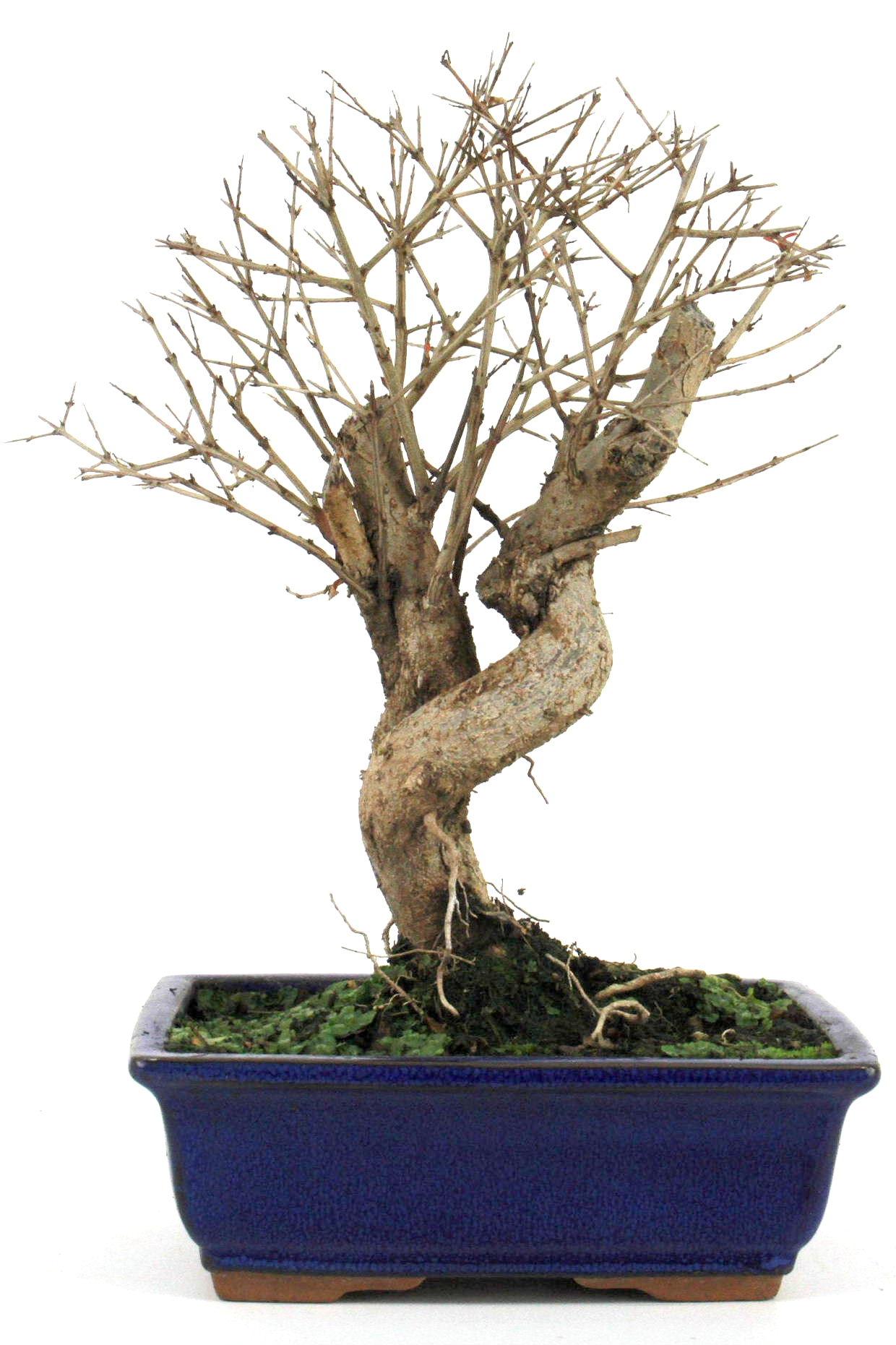 bonsai granatapfel 35 40 cm 1922 bei oyaki bonsai kaufen. Black Bedroom Furniture Sets. Home Design Ideas