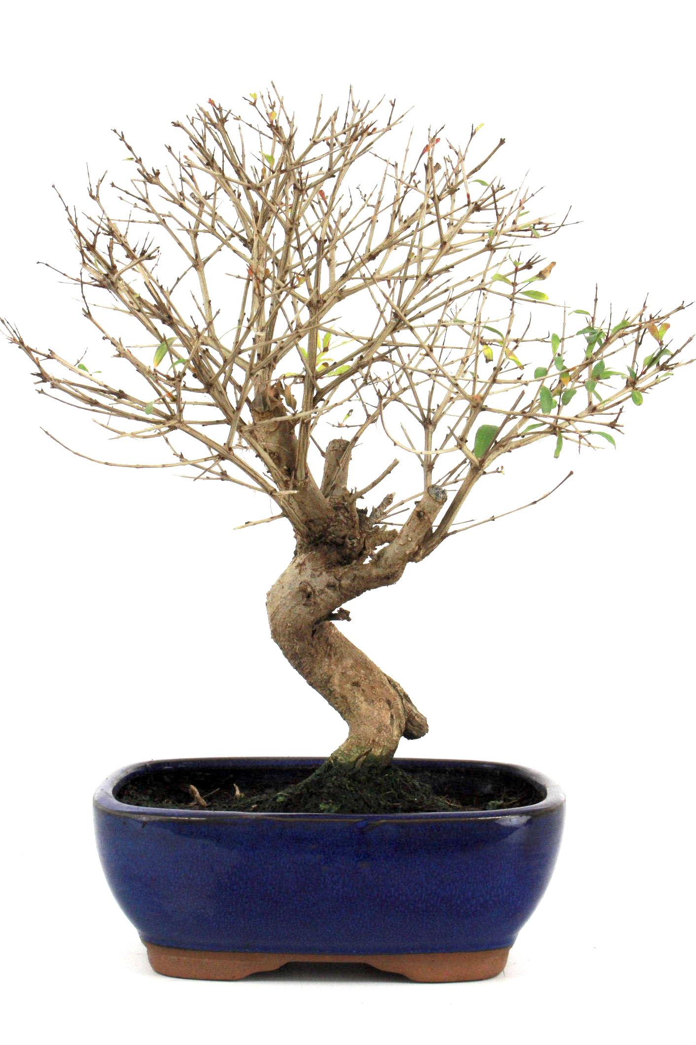 bonsai granatapfel 35 40 cm 1924 bei oyaki bonsai kaufen. Black Bedroom Furniture Sets. Home Design Ideas