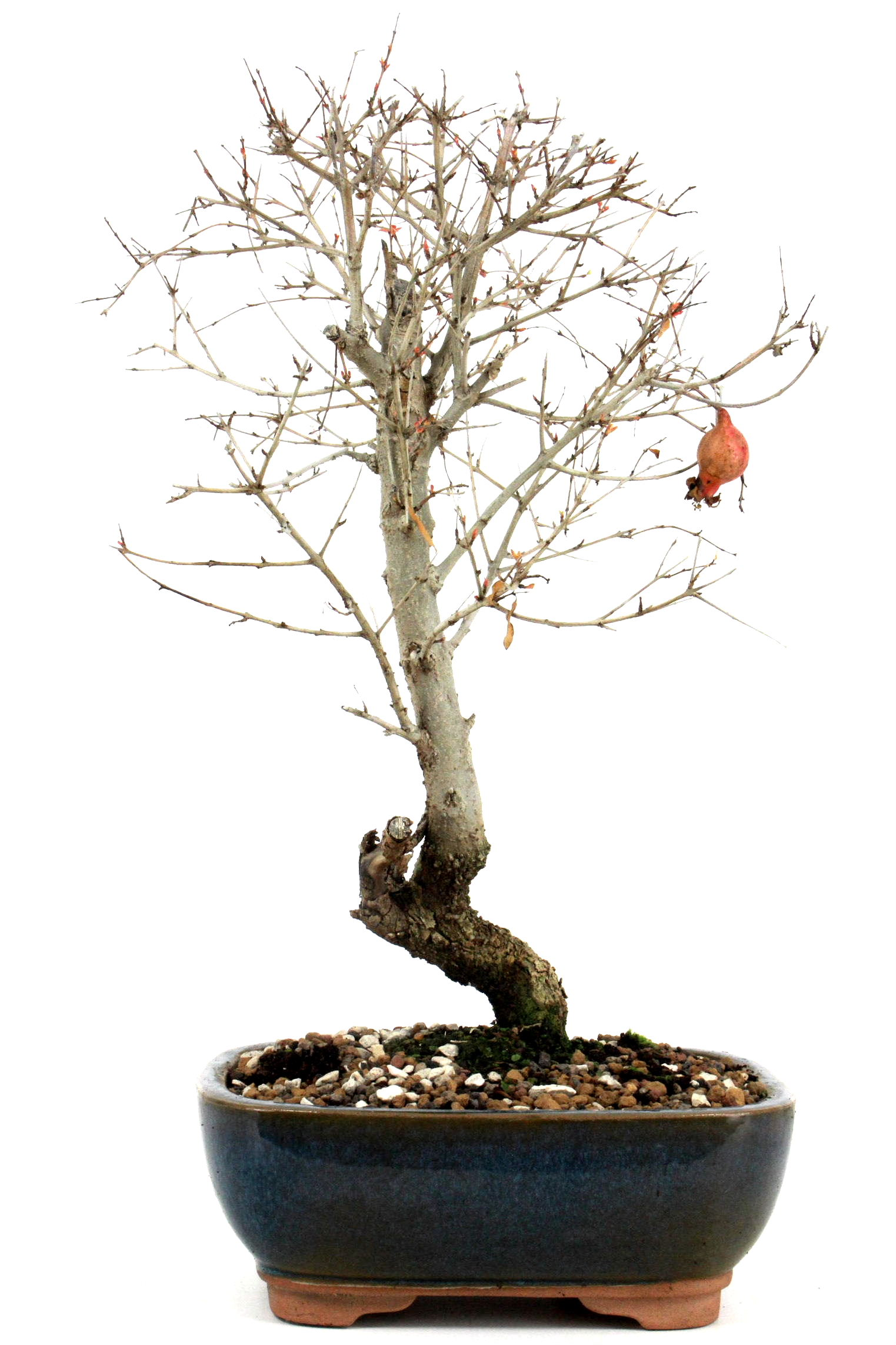 Bonsai granatapfel 35 40 cm 1925 bei oyaki bonsai kaufen for Bonsai onlineshop