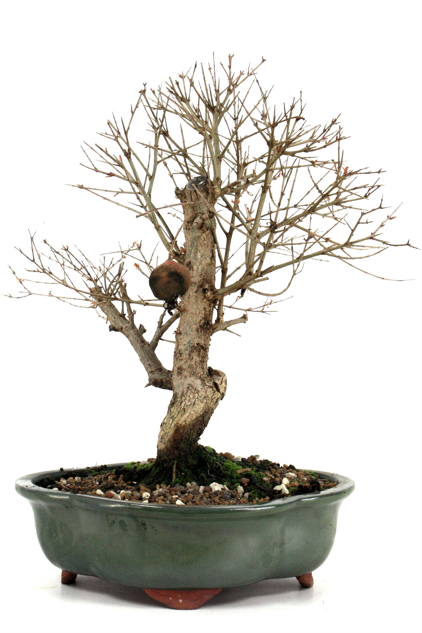 granatapfel bonsai 40 45 cm 251 bei oyaki bonsai kaufen. Black Bedroom Furniture Sets. Home Design Ideas