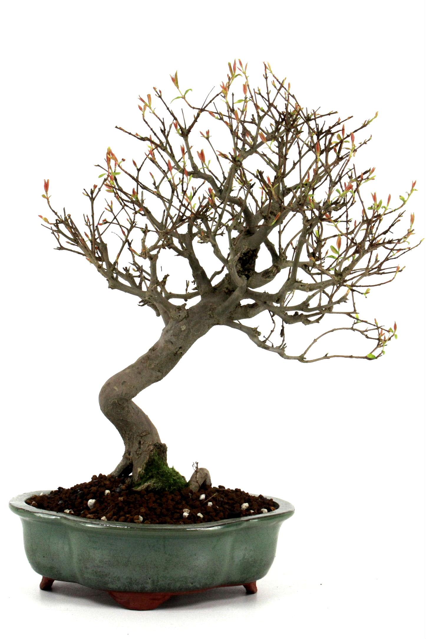 Granatapfel 42 cm 194 bei oyaki bonsai kaufen for Bonsai versand