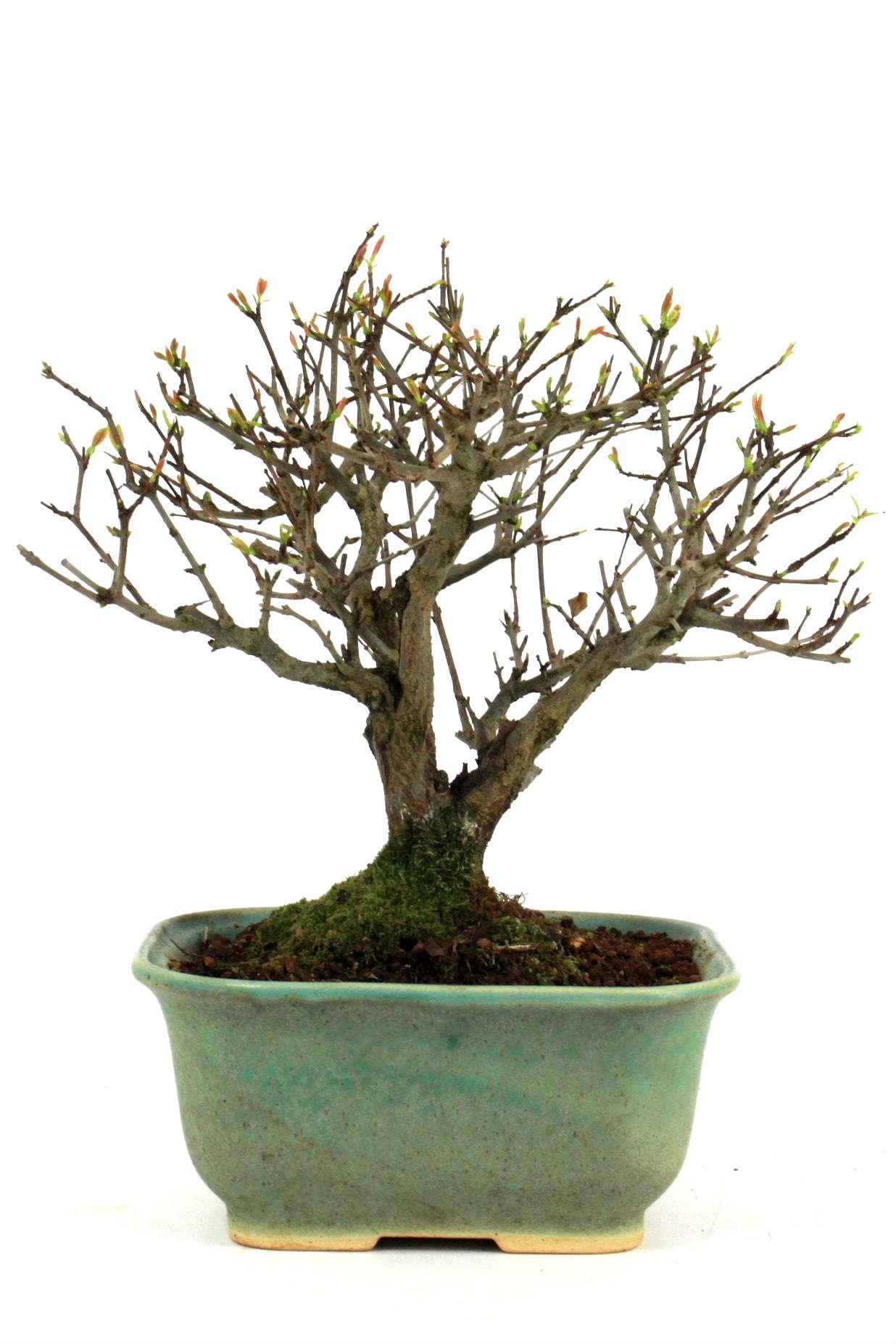 granatapfel 28 cm 1833 bei oyaki bonsai kaufen. Black Bedroom Furniture Sets. Home Design Ideas