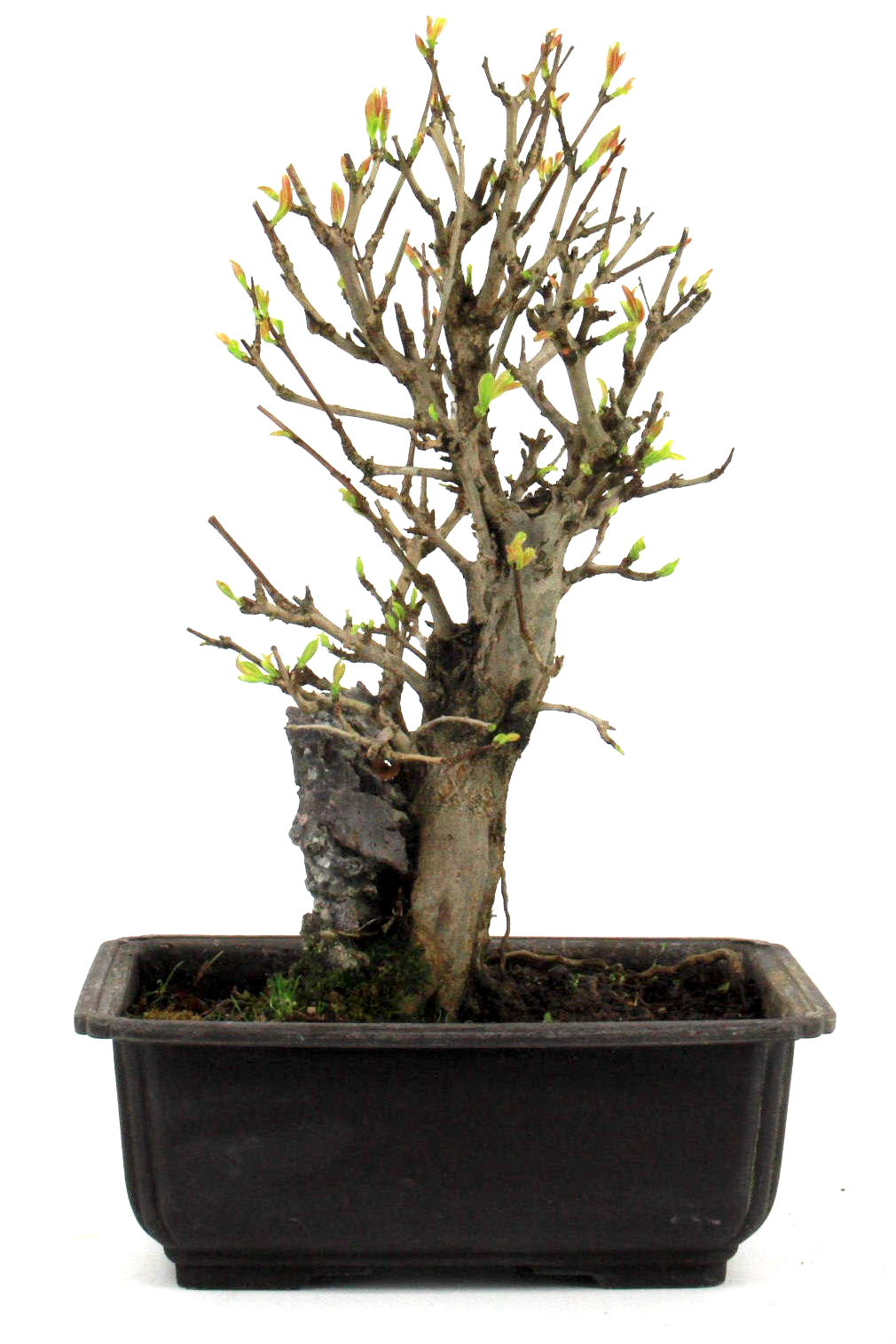 granatapfel ber stein 31 cm 183 bei oyaki bonsai kaufen. Black Bedroom Furniture Sets. Home Design Ideas