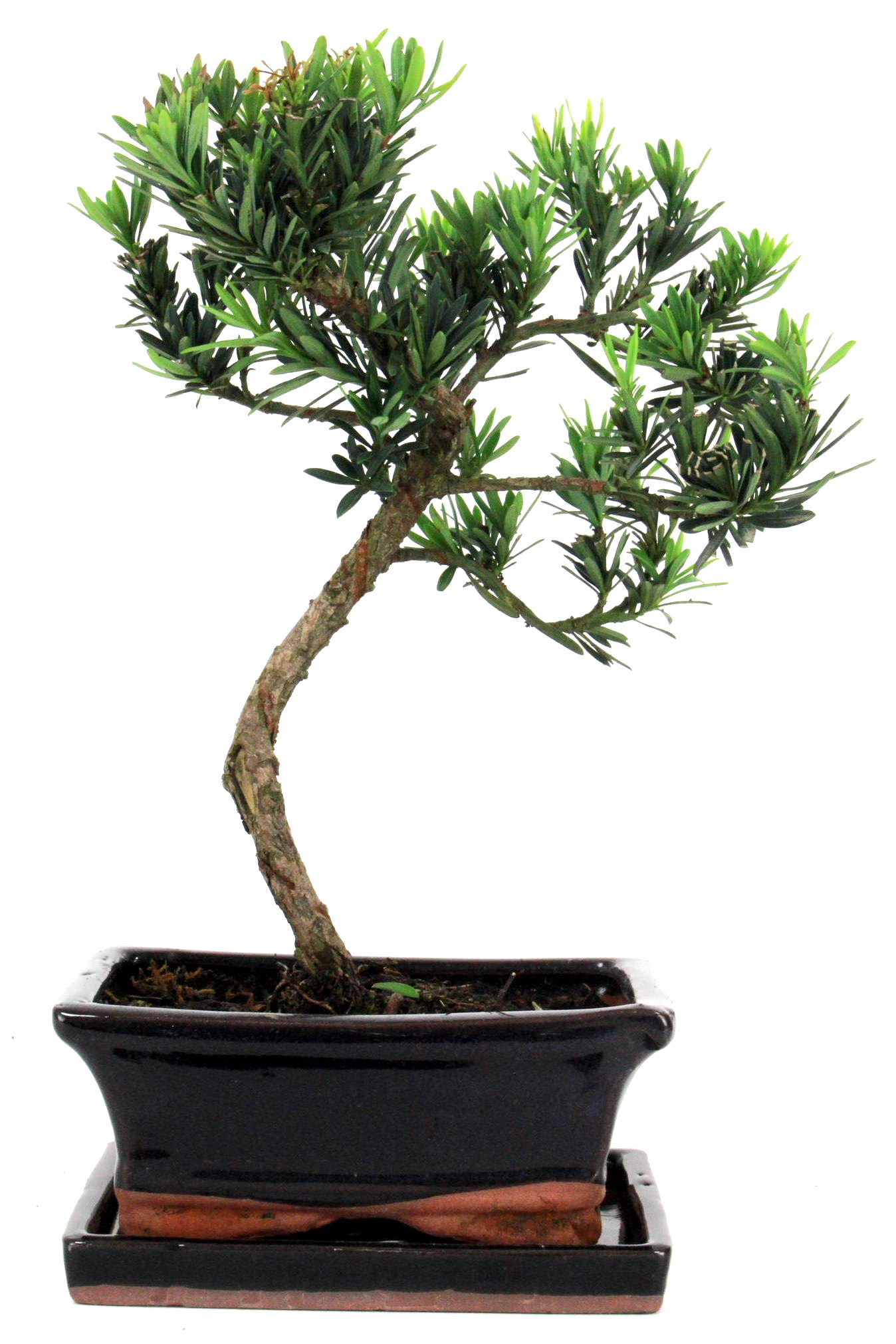 Steineibe bonsai 30 35 cm 161 bei oyaki bonsai kaufen for Bonsai onlineshop