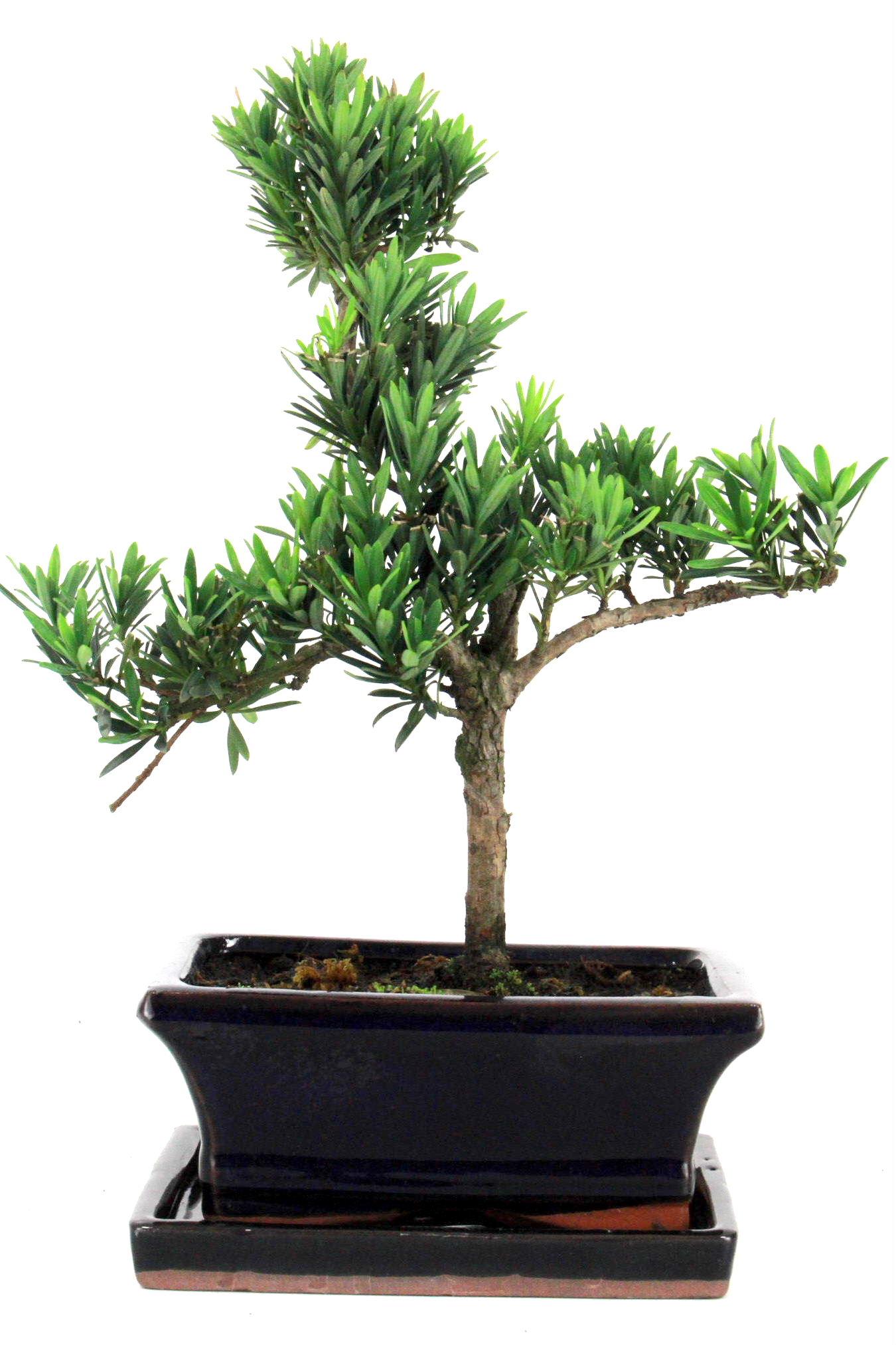 steineibe bonsai 30 35 cm 163 bei oyaki bonsai kaufen. Black Bedroom Furniture Sets. Home Design Ideas