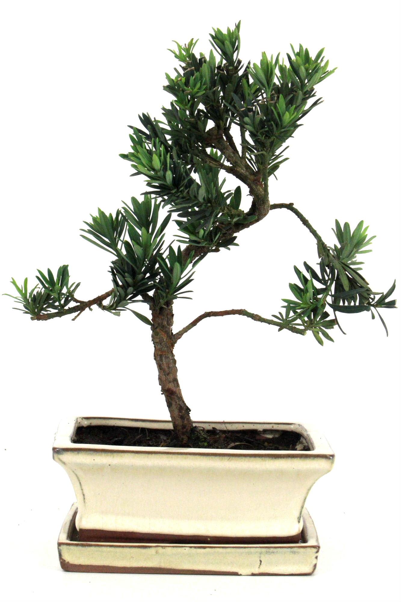 steineibe bonsai 30 35 cm 1617 bei oyaki bonsai kaufen. Black Bedroom Furniture Sets. Home Design Ideas
