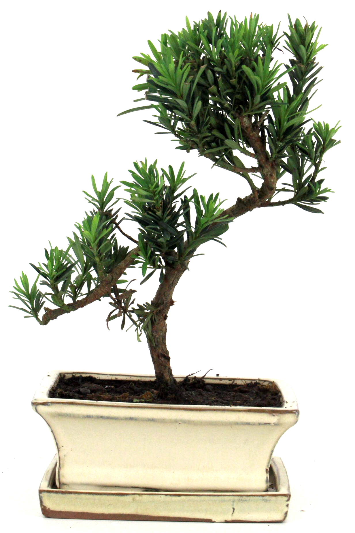 steineibe bonsai 30 35 cm 1620 bei oyaki bonsai kaufen. Black Bedroom Furniture Sets. Home Design Ideas