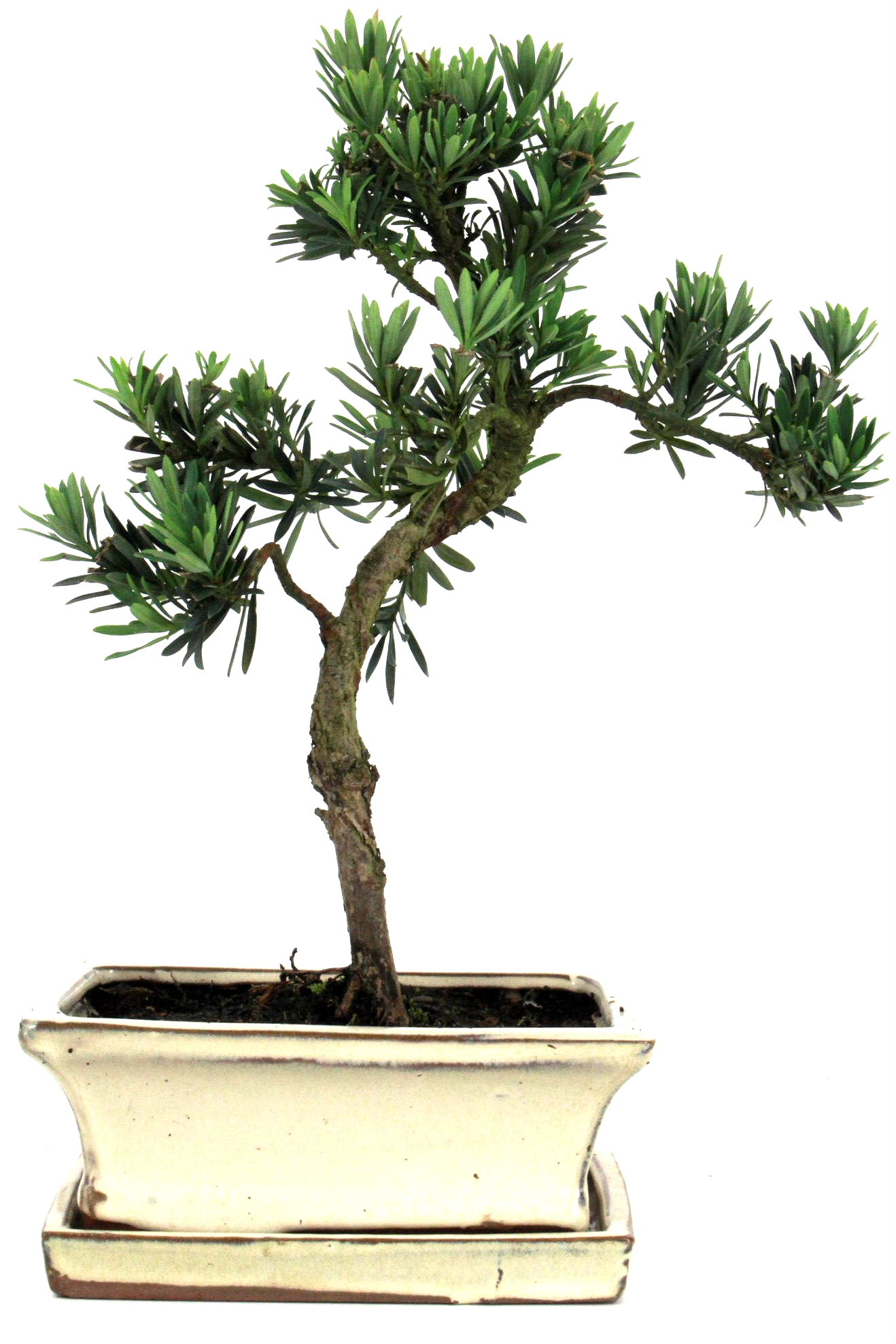Steineibe bonsai 30 35 cm 1624 bei oyaki bonsai kaufen for Bonsai onlineshop