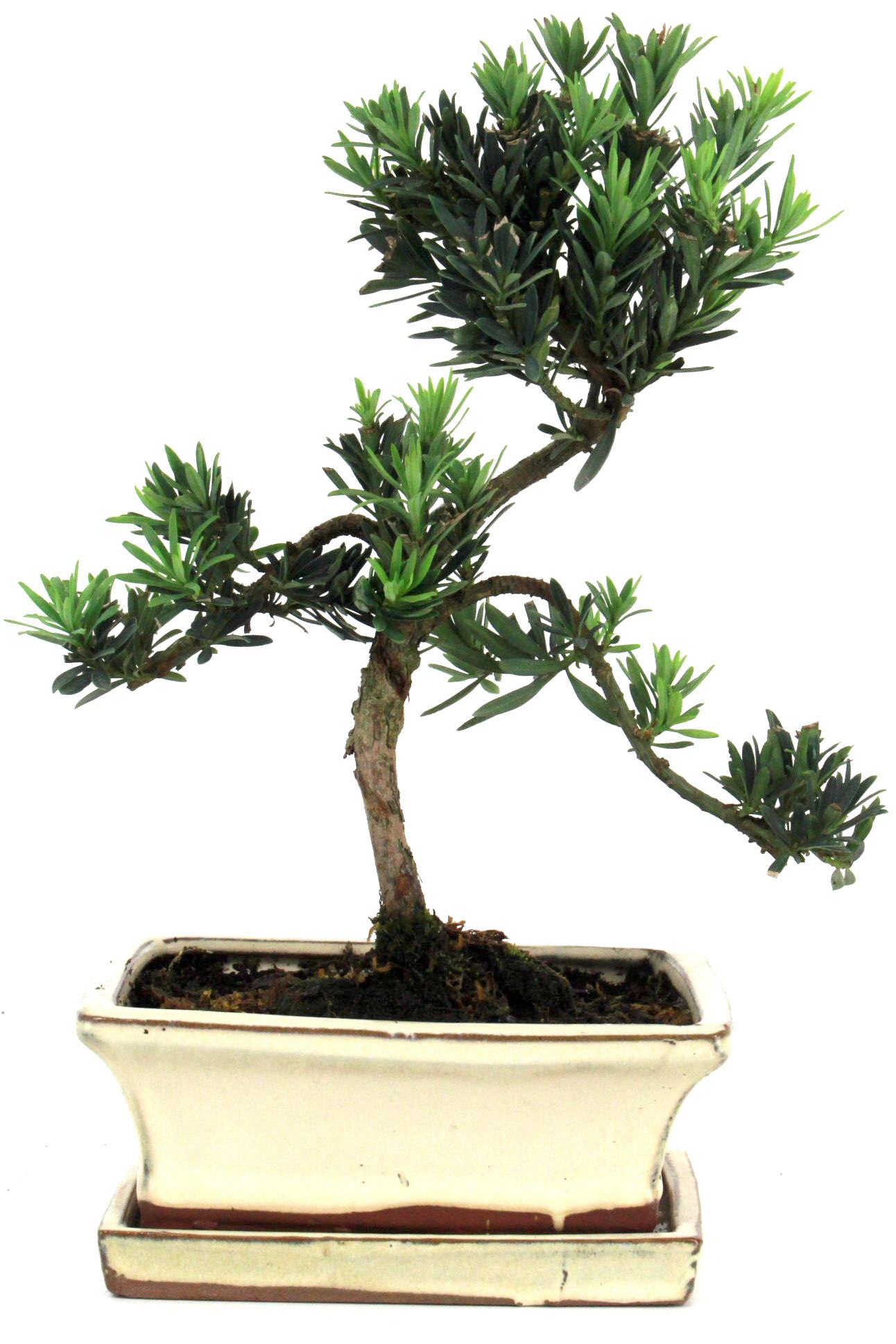 Steineibe bonsai 30 35 cm 1627 bei oyaki bonsai kaufen for Bonsai onlineshop