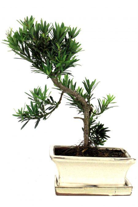 steineibe bonsai 30 35 cm 1632 bei oyaki bonsai kaufen. Black Bedroom Furniture Sets. Home Design Ideas