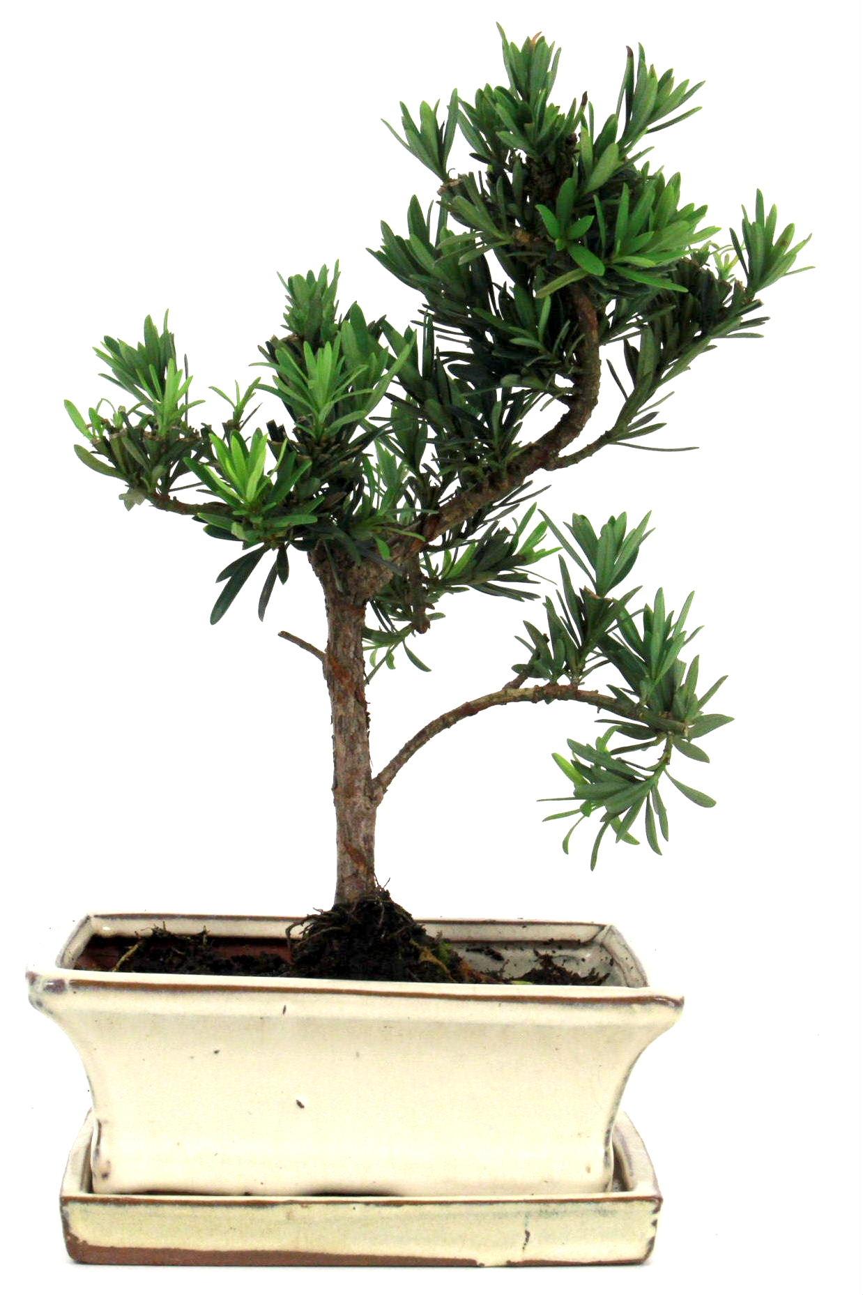 steineibe bonsai 30 35 cm 1635 bei oyaki bonsai kaufen. Black Bedroom Furniture Sets. Home Design Ideas