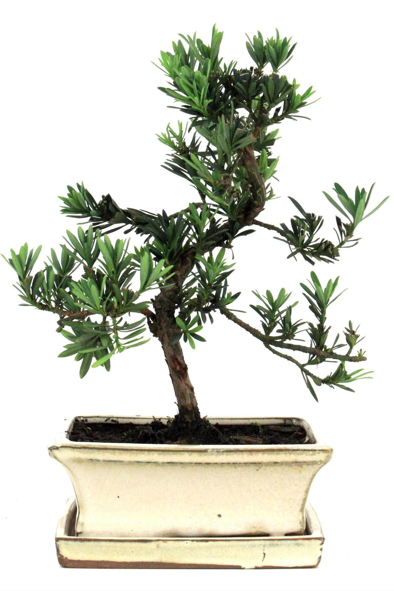 Steineibe bonsai 30 35 cm 1636 bei oyaki bonsai kaufen for Bonsai onlineshop