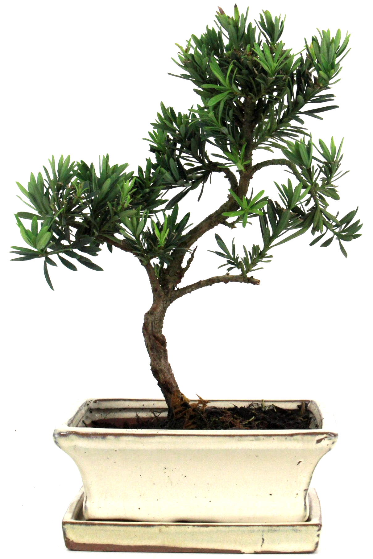Steineibe bonsai 30 35 cm 1639 bei oyaki bonsai kaufen for Bonsai onlineshop