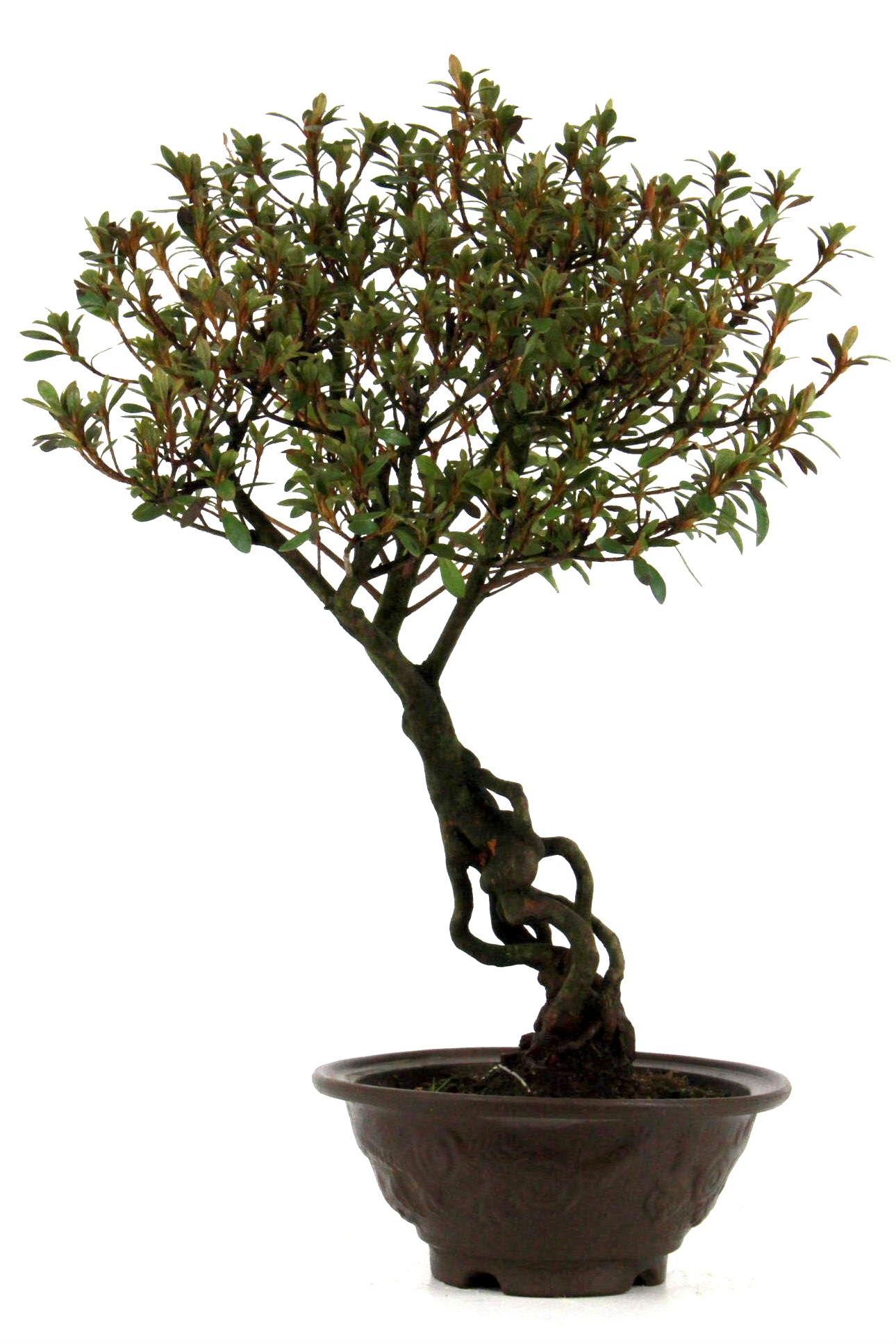 azaleen bersicht onlineshop oyaki bonsai. Black Bedroom Furniture Sets. Home Design Ideas