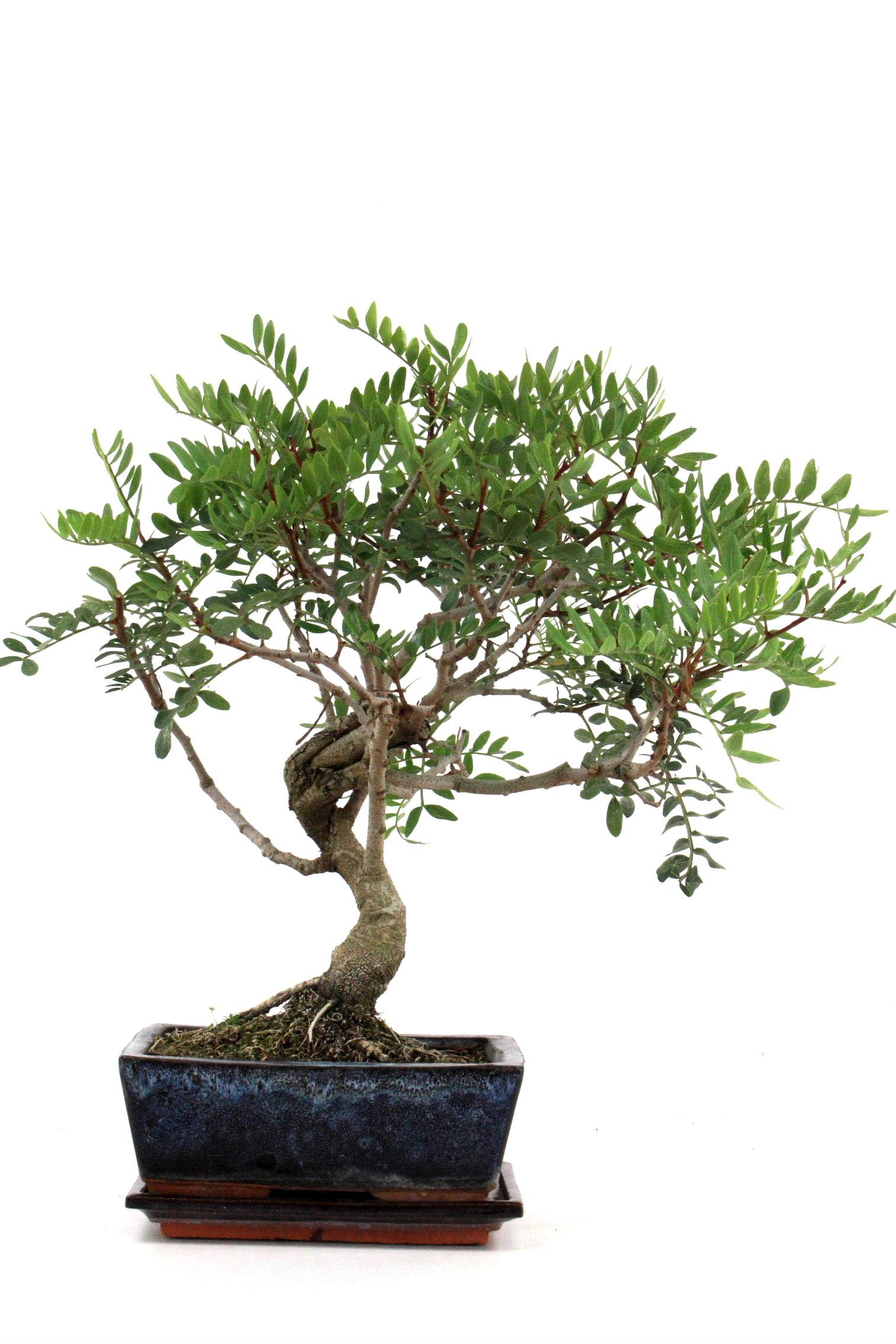 Bonsai mastix pistazie 35 cm 1921 bei oyaki bonsai kaufen for Bonsai onlineshop