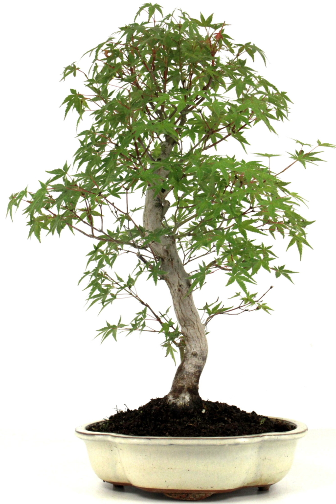 f cherahorn bonsai acer palmatum 50 cm 222 bei oyaki bonsai kaufen. Black Bedroom Furniture Sets. Home Design Ideas