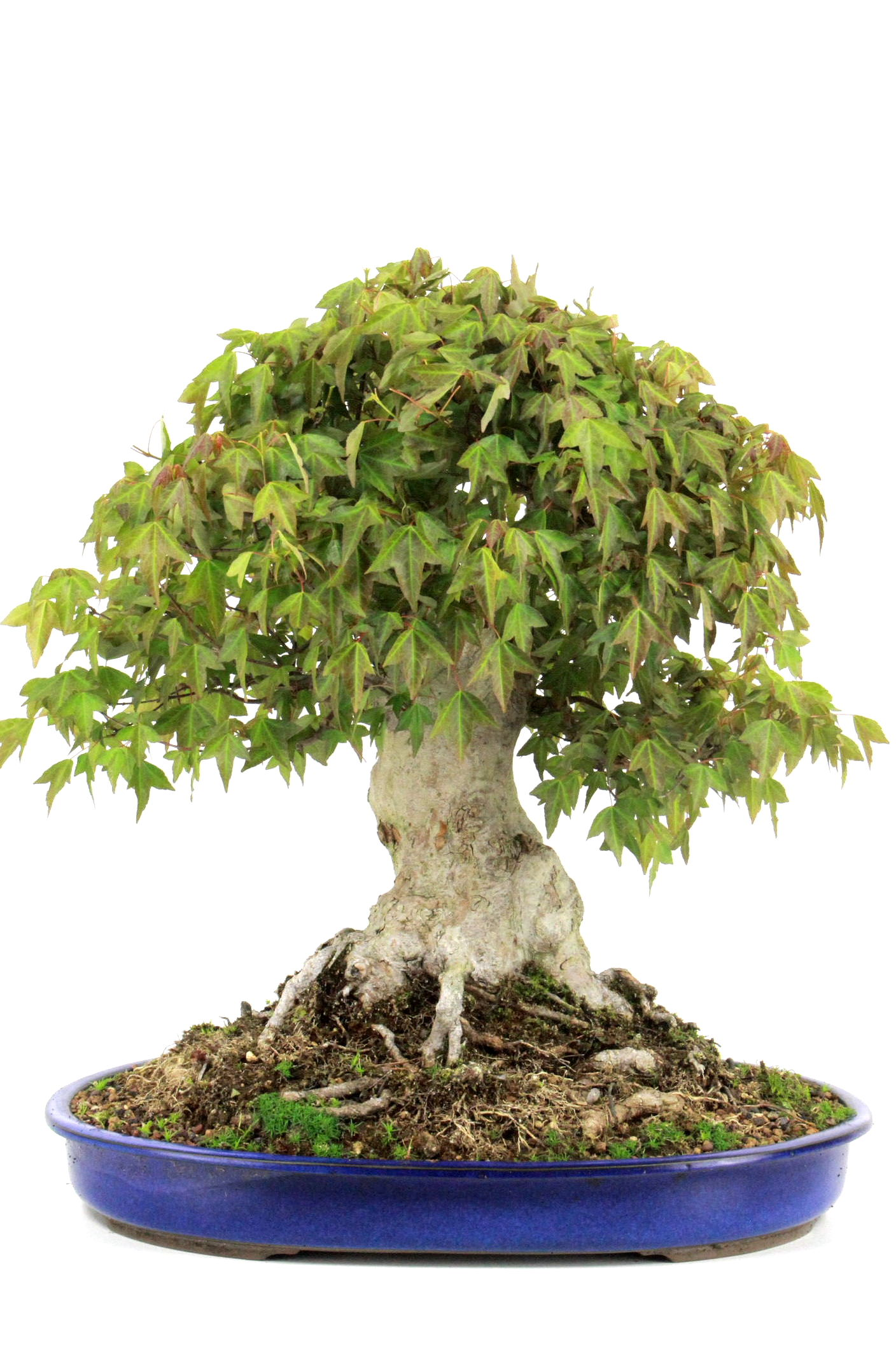 Bonsai dreispitz ahorn 53 cm 4527 bei oyaki bonsai kaufen for Bonsai onlineshop