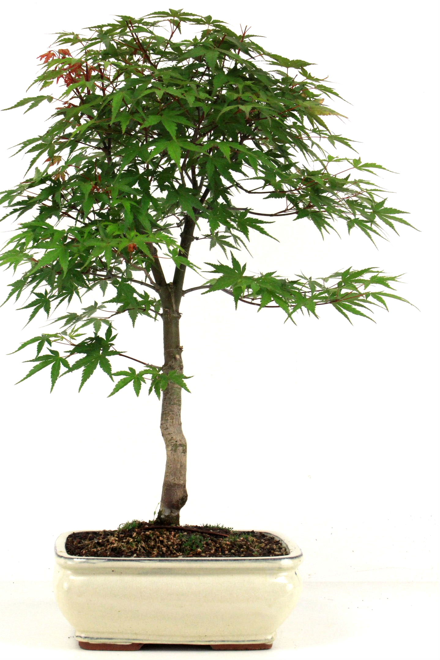 F cherahorn 65 cm 252 bei oyaki bonsai kaufen for Bonsai onlineshop