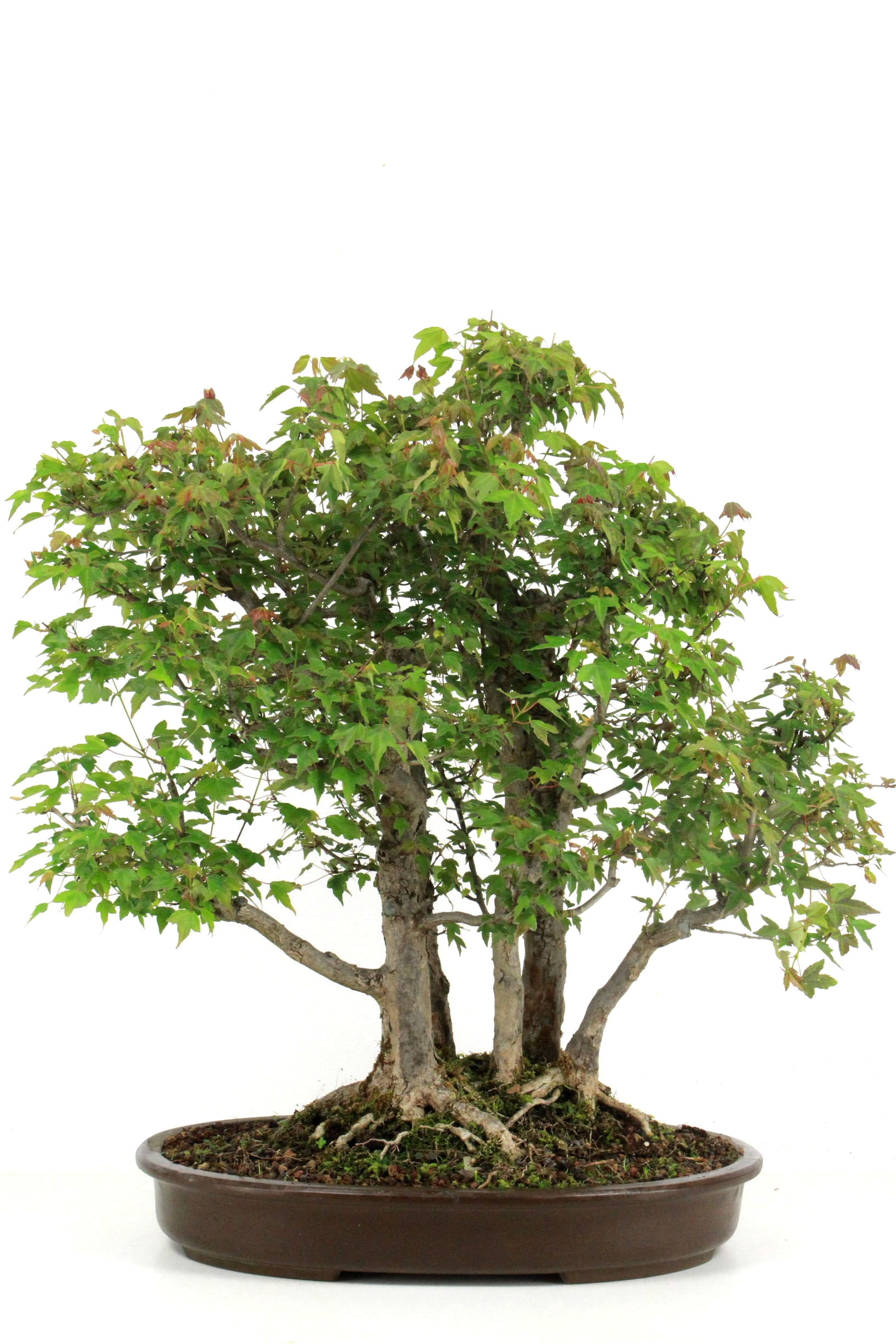 Bonsai dreispitz ahorn 62 cm 4026 bei oyaki bonsai kaufen for Bonsai onlineshop