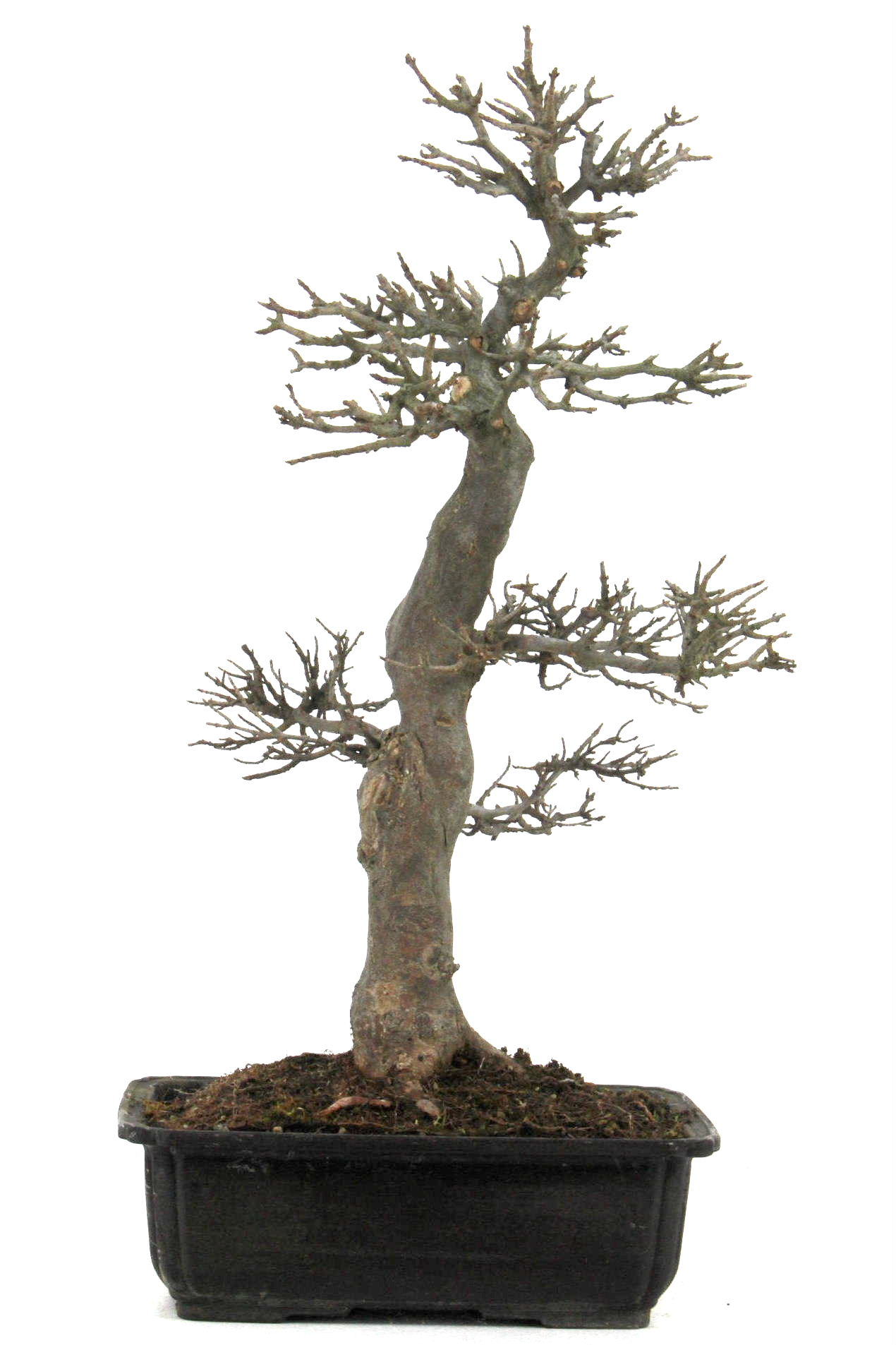 Bonsai dreispitz ahorn 60 cm 2622 bei oyaki bonsai kaufen for Bonsai onlineshop