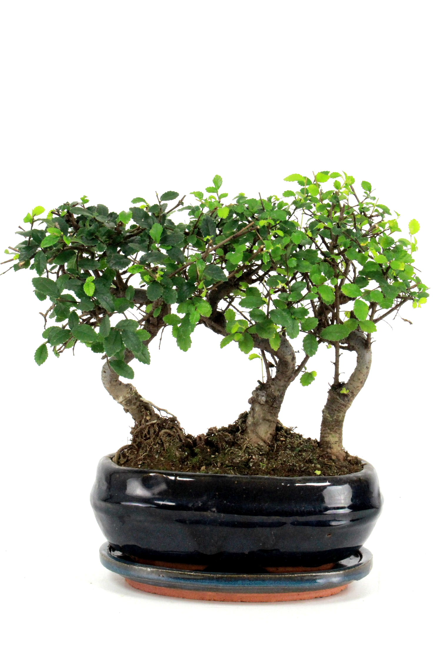 bonsai chinesische ulme gruppenpflanzung 30 cm 193 bei oyaki bonsai kaufen. Black Bedroom Furniture Sets. Home Design Ideas
