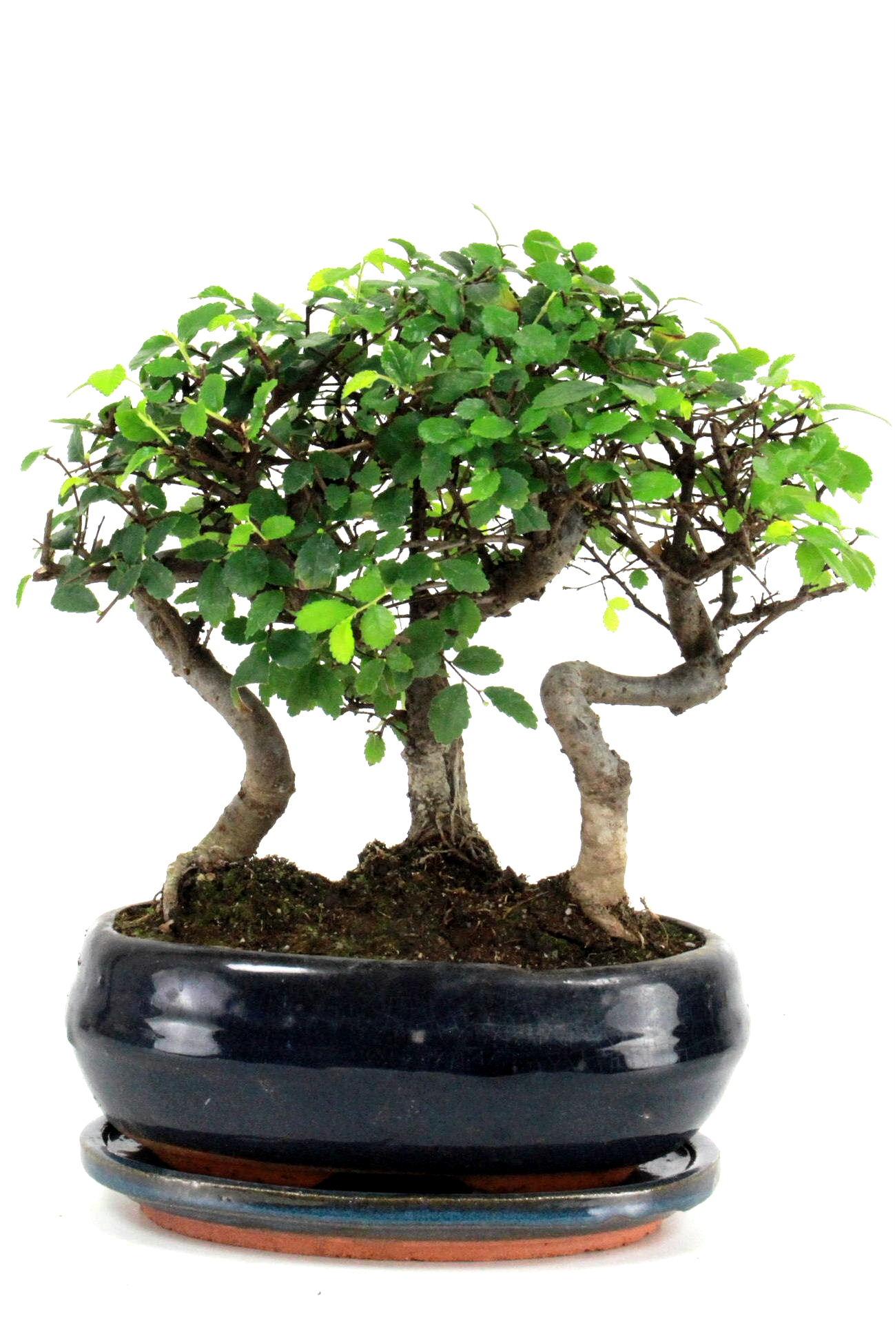 bonsai chinesische ulme gruppenpflanzung 30 cm 195 bei oyaki bonsai kaufen. Black Bedroom Furniture Sets. Home Design Ideas