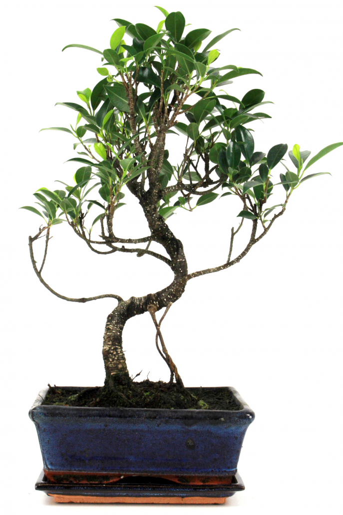 bonsai feige ficus taiwan 40 45 cm 197 bei oyaki bonsai. Black Bedroom Furniture Sets. Home Design Ideas