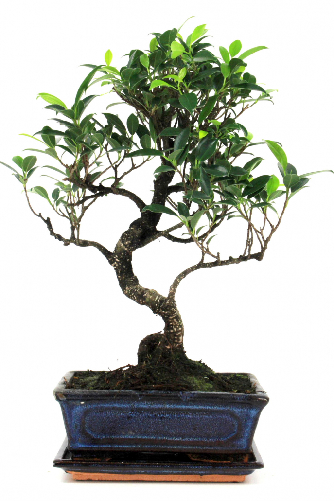 bonsai feige ficus taiwan 40 45 cm 1912 bei oyaki bonsai kaufen. Black Bedroom Furniture Sets. Home Design Ideas