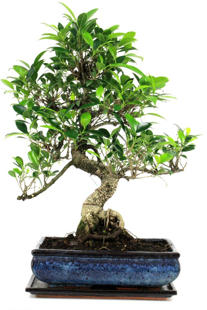 chinesische feige bonsai ficus retusa 55 60 cm 294 bei oyaki bonsai kaufen. Black Bedroom Furniture Sets. Home Design Ideas