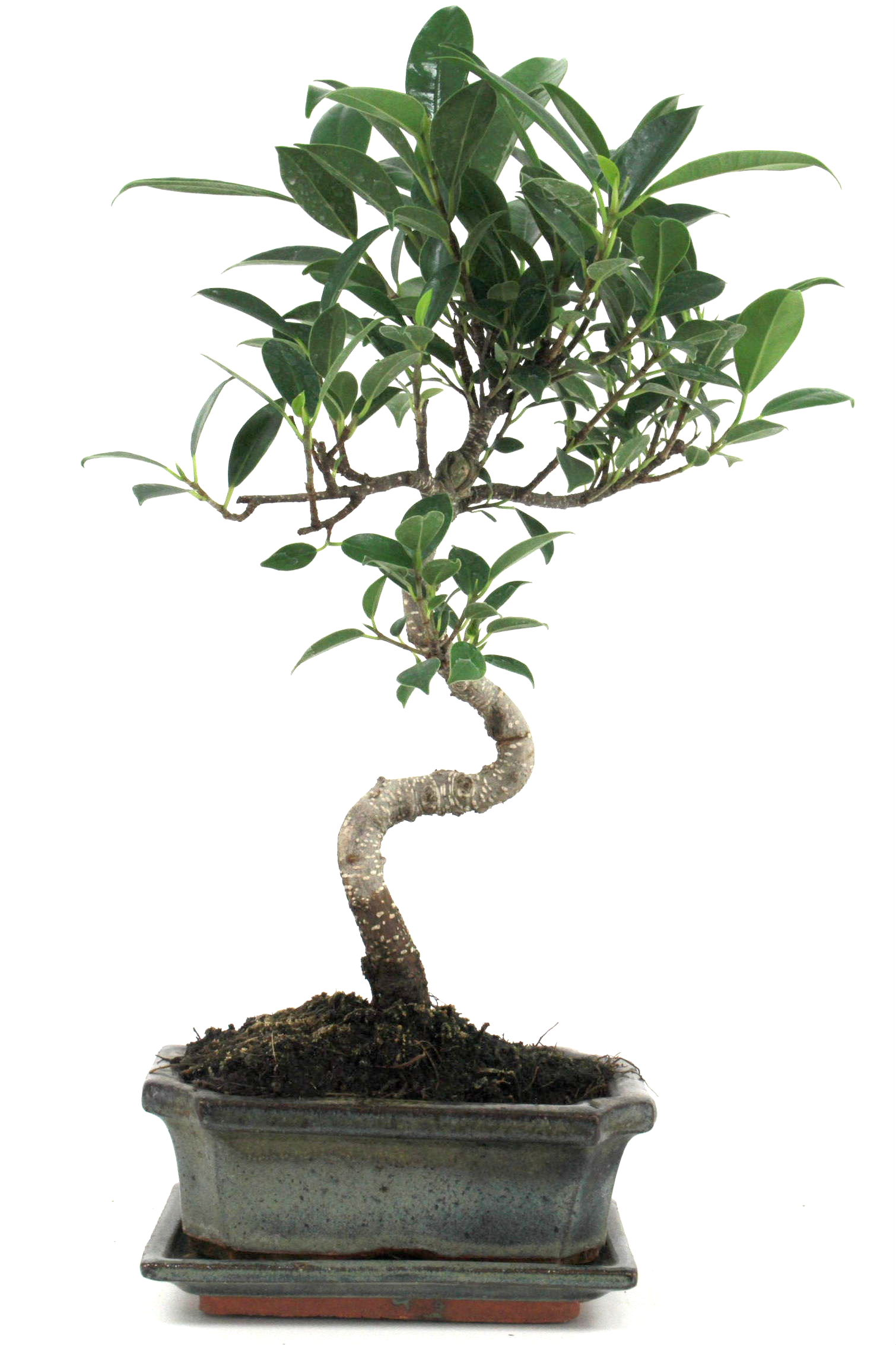 bonsai ficus taiwan 35 40 cm 1611 bei oyaki bonsai kaufen. Black Bedroom Furniture Sets. Home Design Ideas