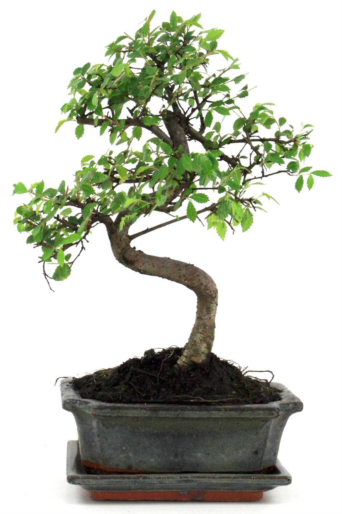 bonsai chinesische ulme 30 35 cm g168 bei oyaki bonsai kaufen. Black Bedroom Furniture Sets. Home Design Ideas