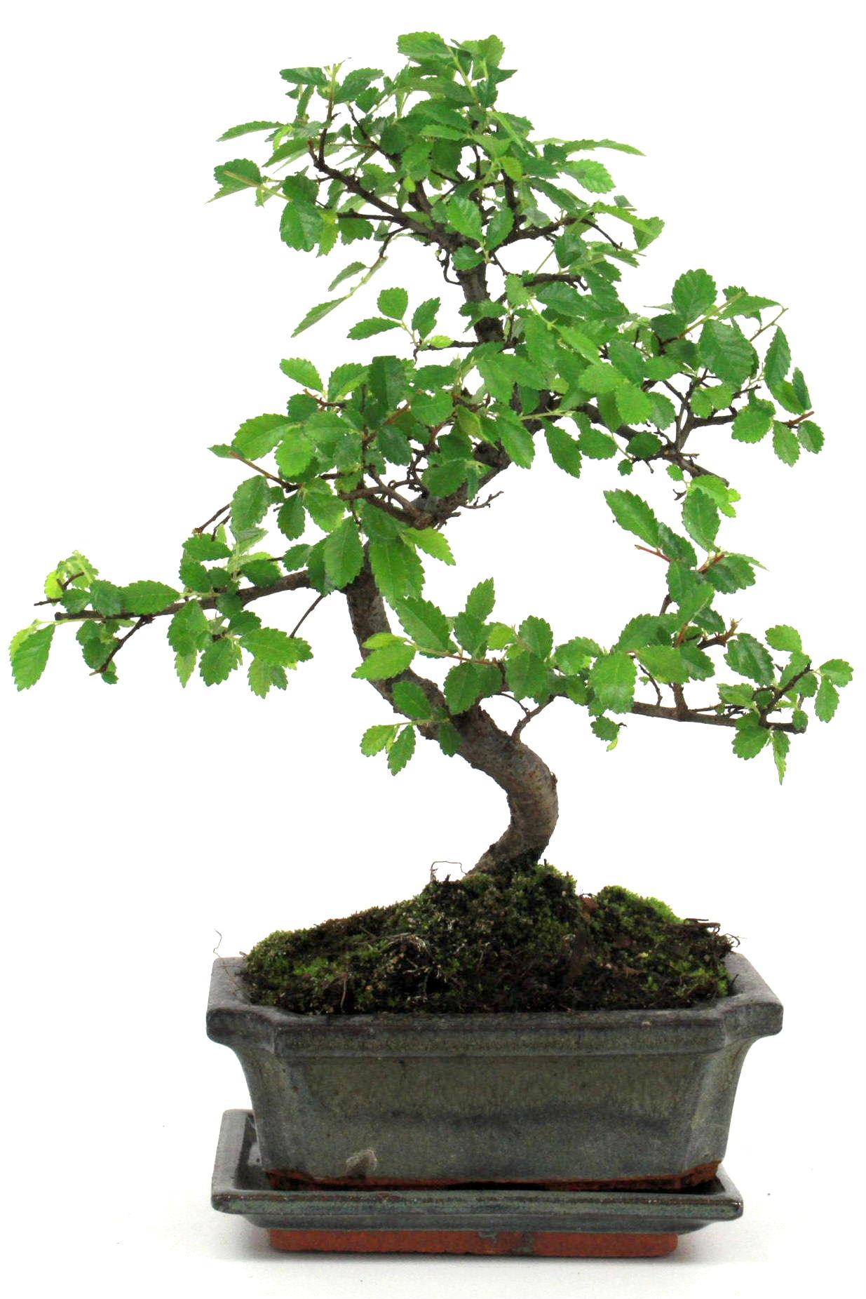 Bonsai chinesische ulme 30 35 cm g1618 bei oyaki bonsai kaufen for Bonsai onlineshop
