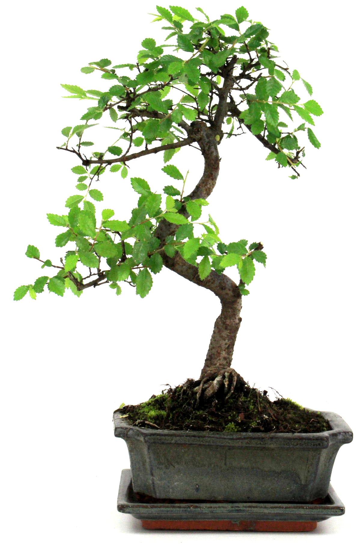bonsai chinesische ulme 30 35 cm g1622 bei oyaki bonsai kaufen. Black Bedroom Furniture Sets. Home Design Ideas
