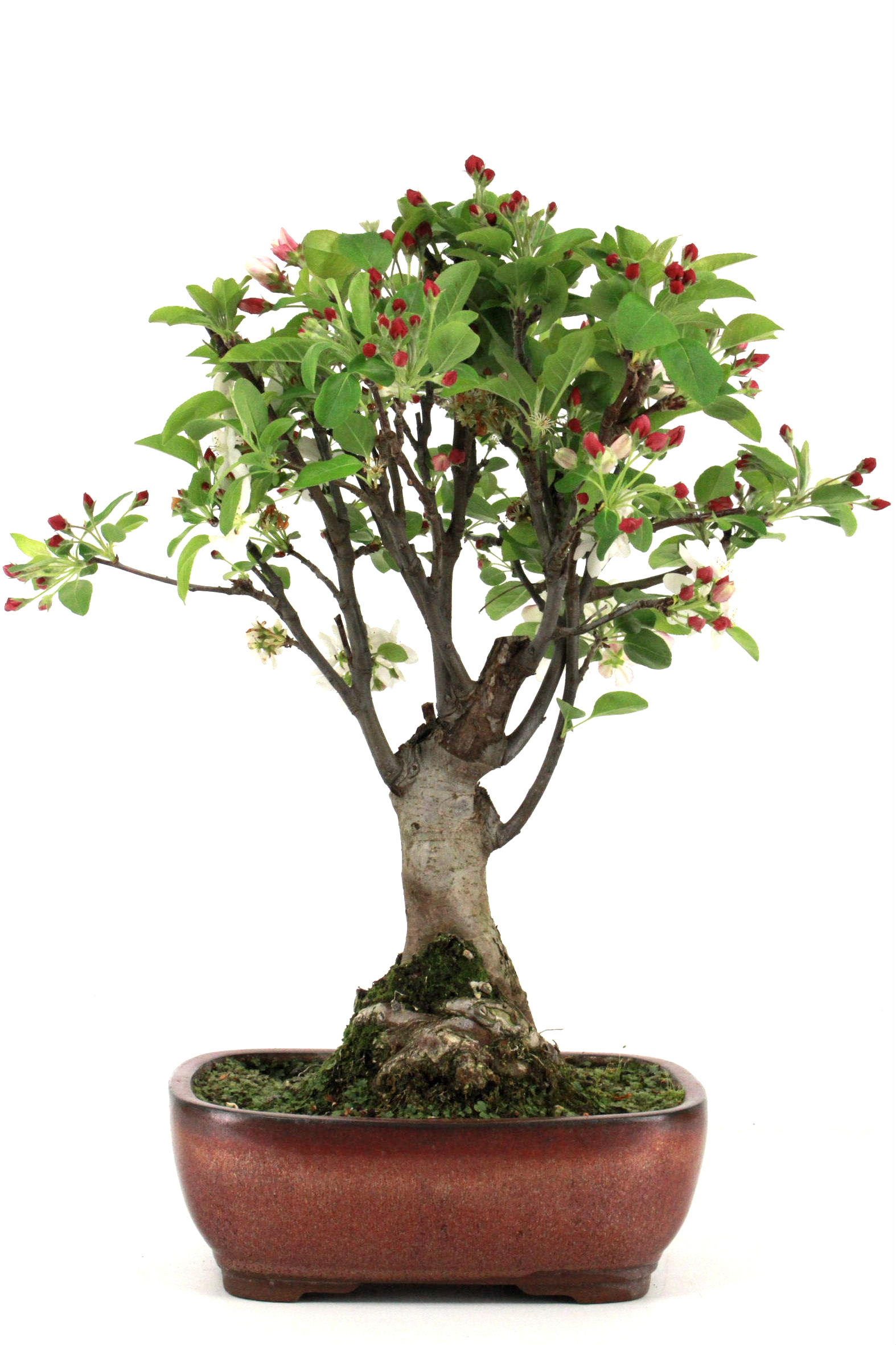 Bonsai apfel malus halliana 50 55 cm 269 bei oyaki bonsai for Bonsai onlineshop